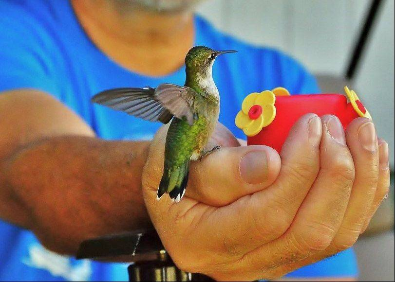 A man hand feeds a ruby-throated hummingbird in a backyard in Wheeling last September.