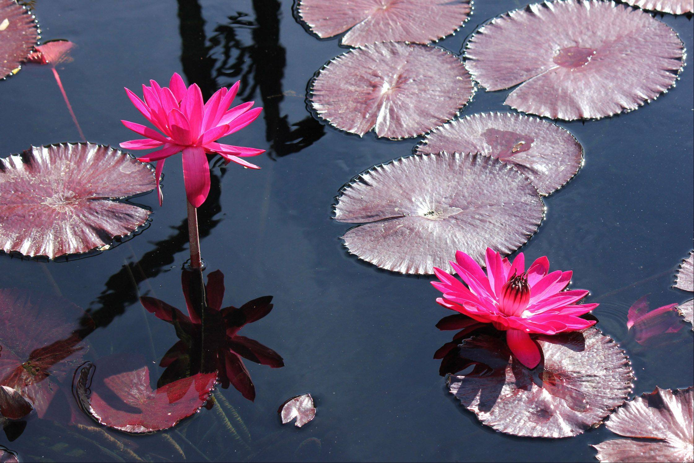 Water lilies lie on the surface of a pond at the Chicago Botanic Garden in Glencoe in late September.