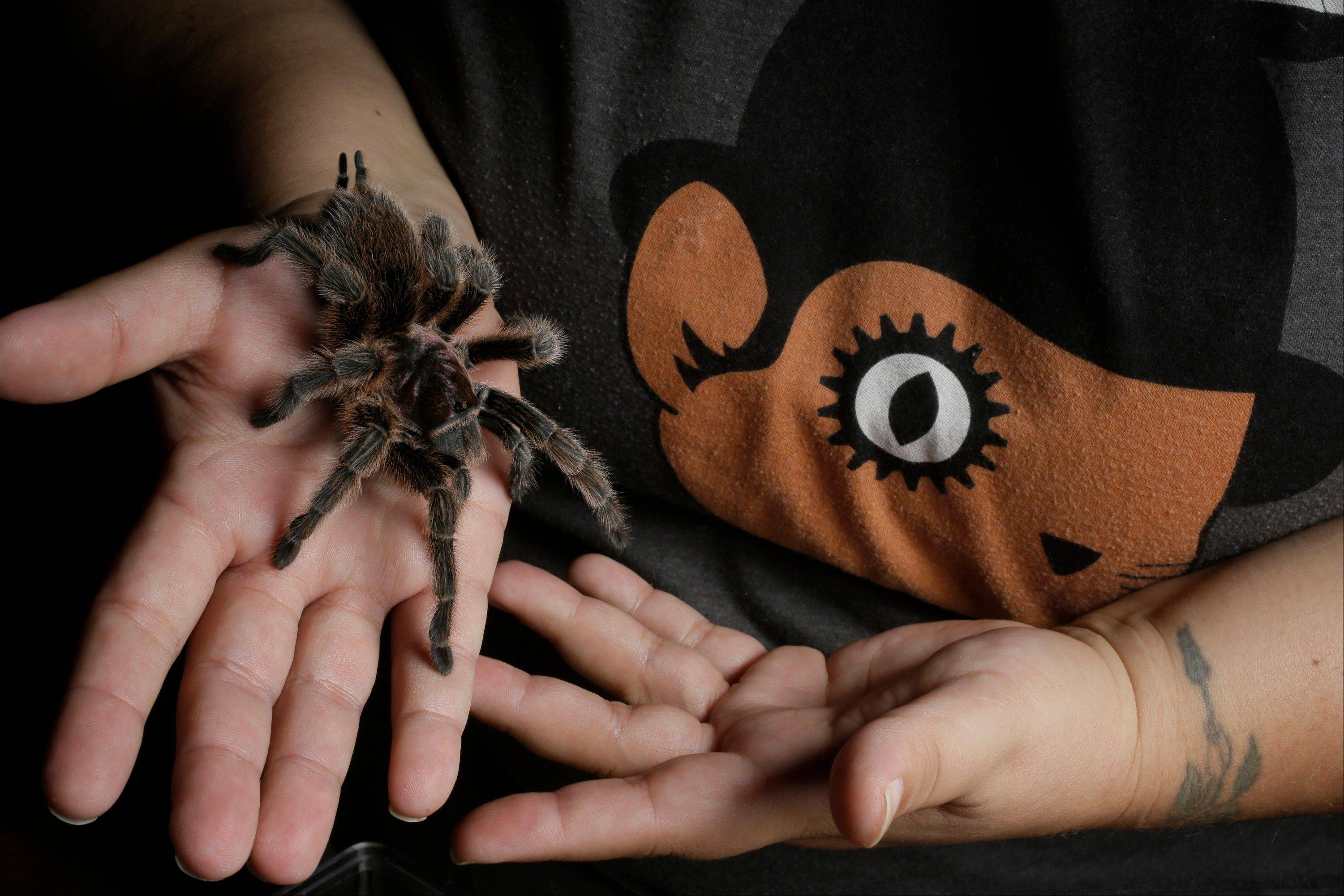 "Nurse Dee Reynolds holds ""Lucy,"" a Chilean Rose Hair (Red Phase) one of her 50 tarantulas at her home in Los Angeles."