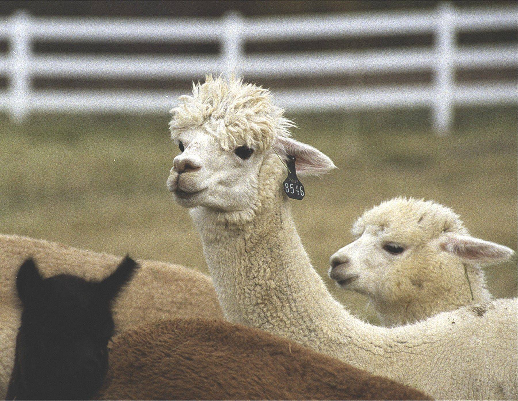 The 2013 Illinois Alpaca Show takes place in Grayslake on Saturday and Sunday, Oct. 26-27.