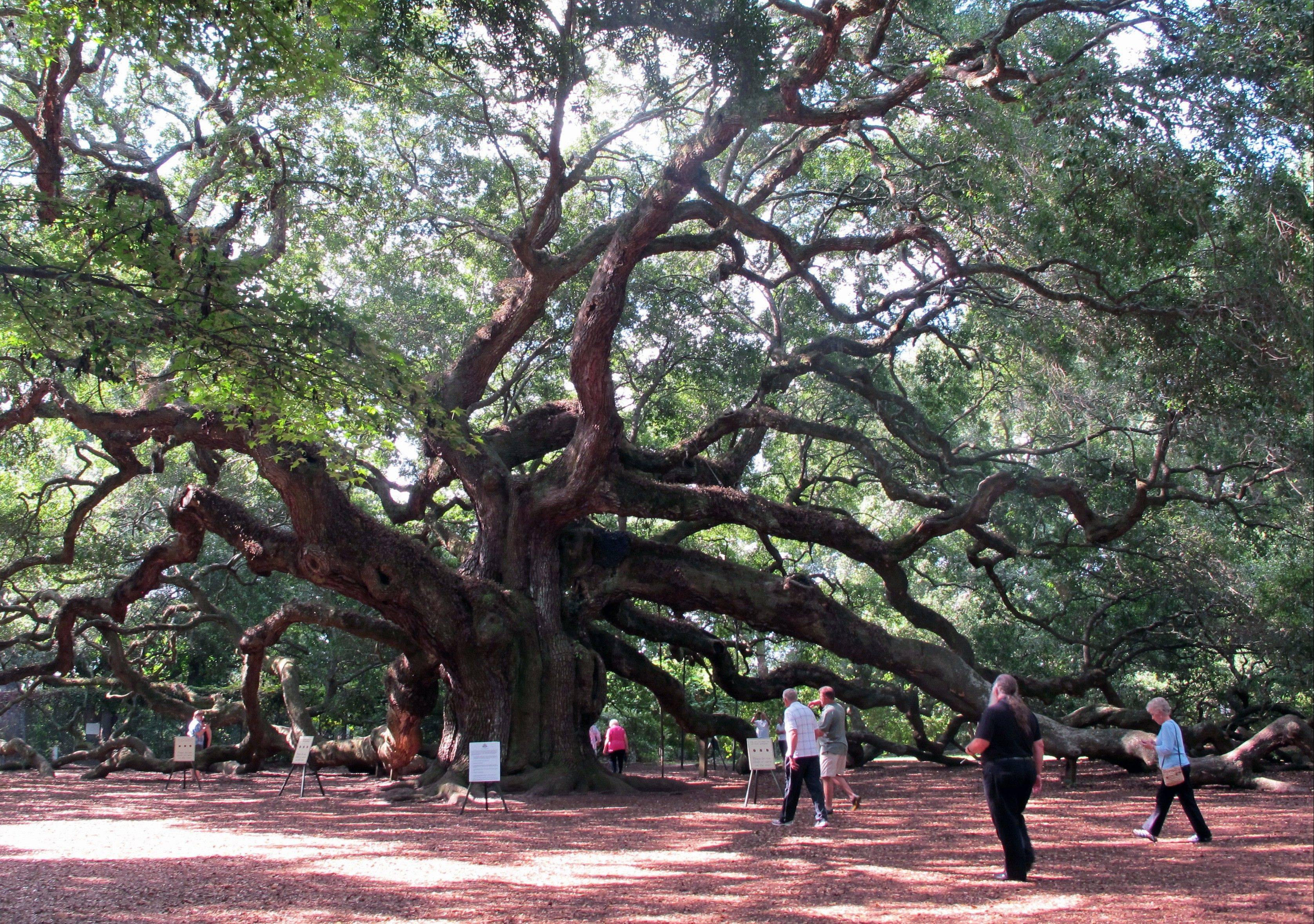 Visitors flock to the Angel Oak on Johns Island near Charleston, S.C. The tree, a landmark in the South Carolina Lowcountry, is thought to be as many as 500 years old.