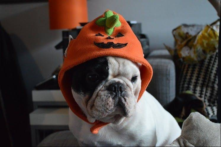 Manny the Frenchie not only cooperates when modeling dozens of Halloween costumes, he'd wear them all day, say owners Jon Huang and Amber Chavez.