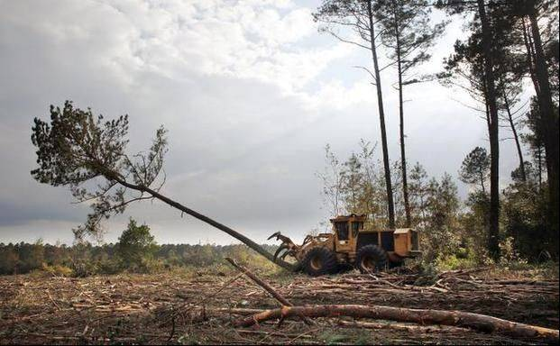 Cutting operator Tyler Andrews downs a loblolly pine at a logging operation site in Hofmann Forest Trustees of N.C. State University's Endowment Fund have agreed to sell the 79,000-acre research forest to an Illinois-based agribusiness company for $150 million, the university announced Tuesday morning.