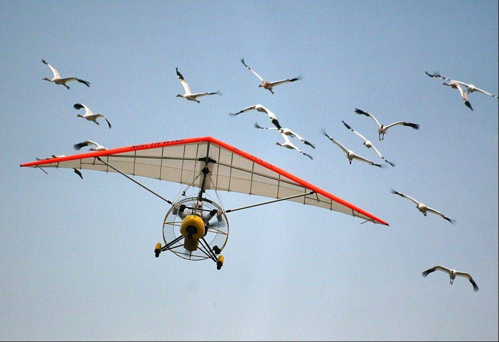 In this 2010 photo, whooping cranes follow an ultralight aircraft from Wisconsin to the St. Marks National Wildlife Refuge in Florida.