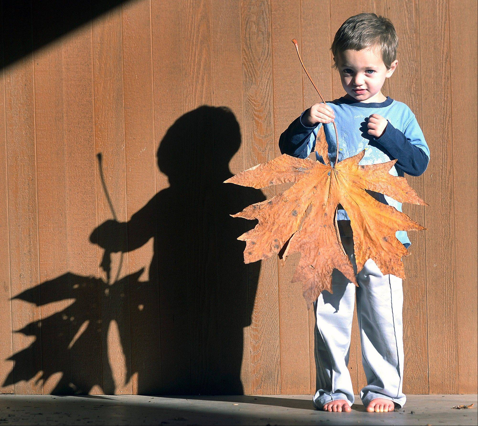 Tommy Lindsey holds a maple leaf he found that is almost as big as he is in Mount Vernon, Wash.