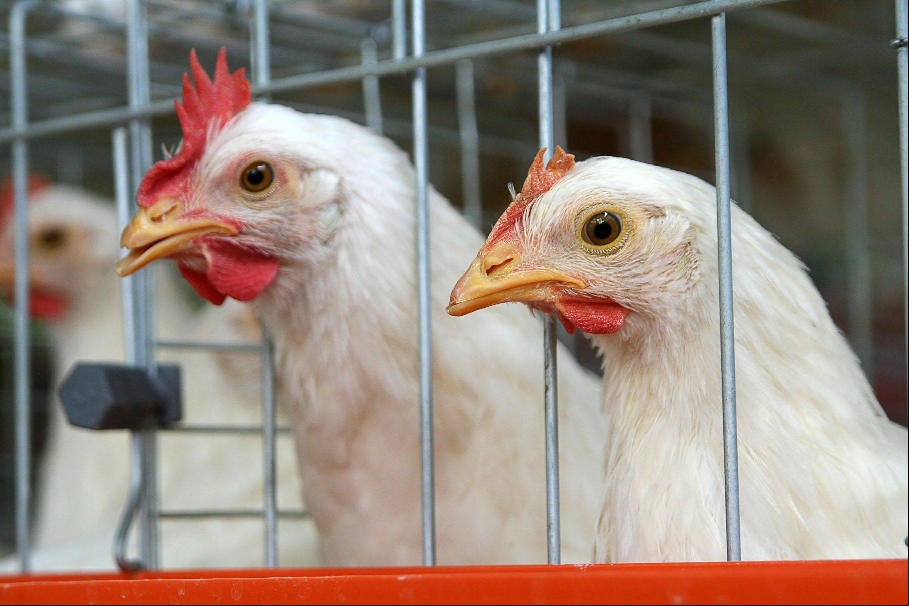 Libertyville may let residents keep chickens