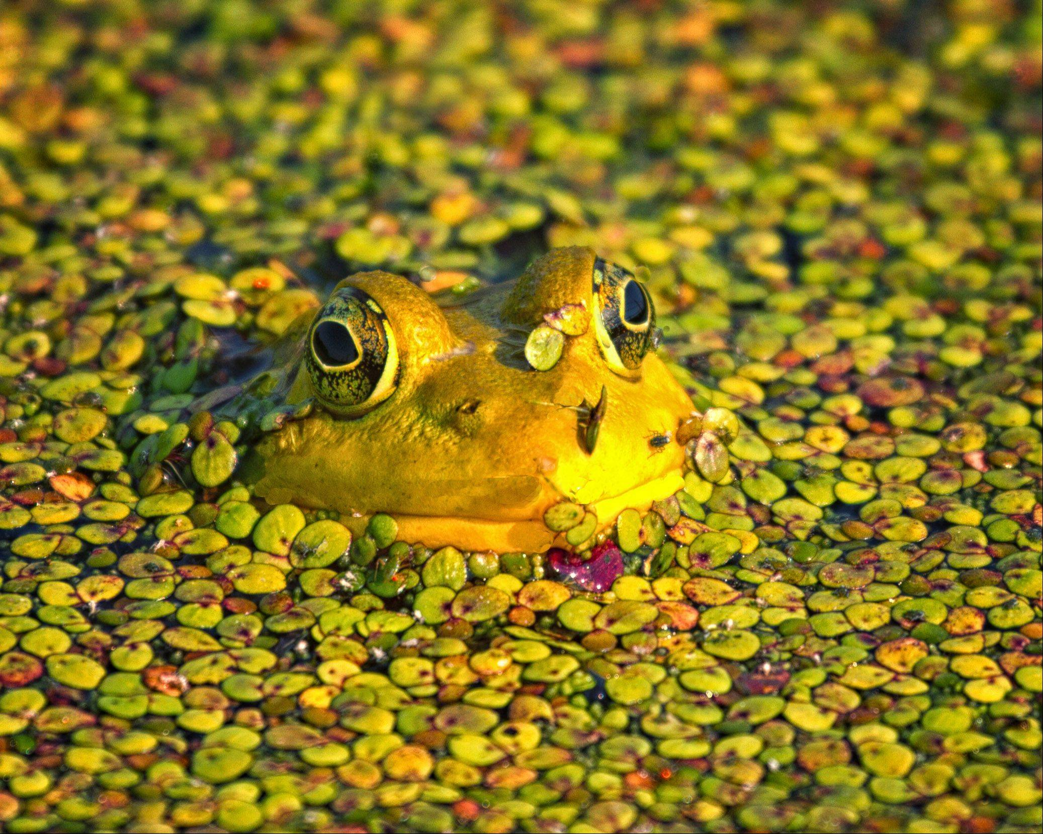 A yellow frog peeks out from duckweed at the Horicon Marsh area of Wisconsin last July.