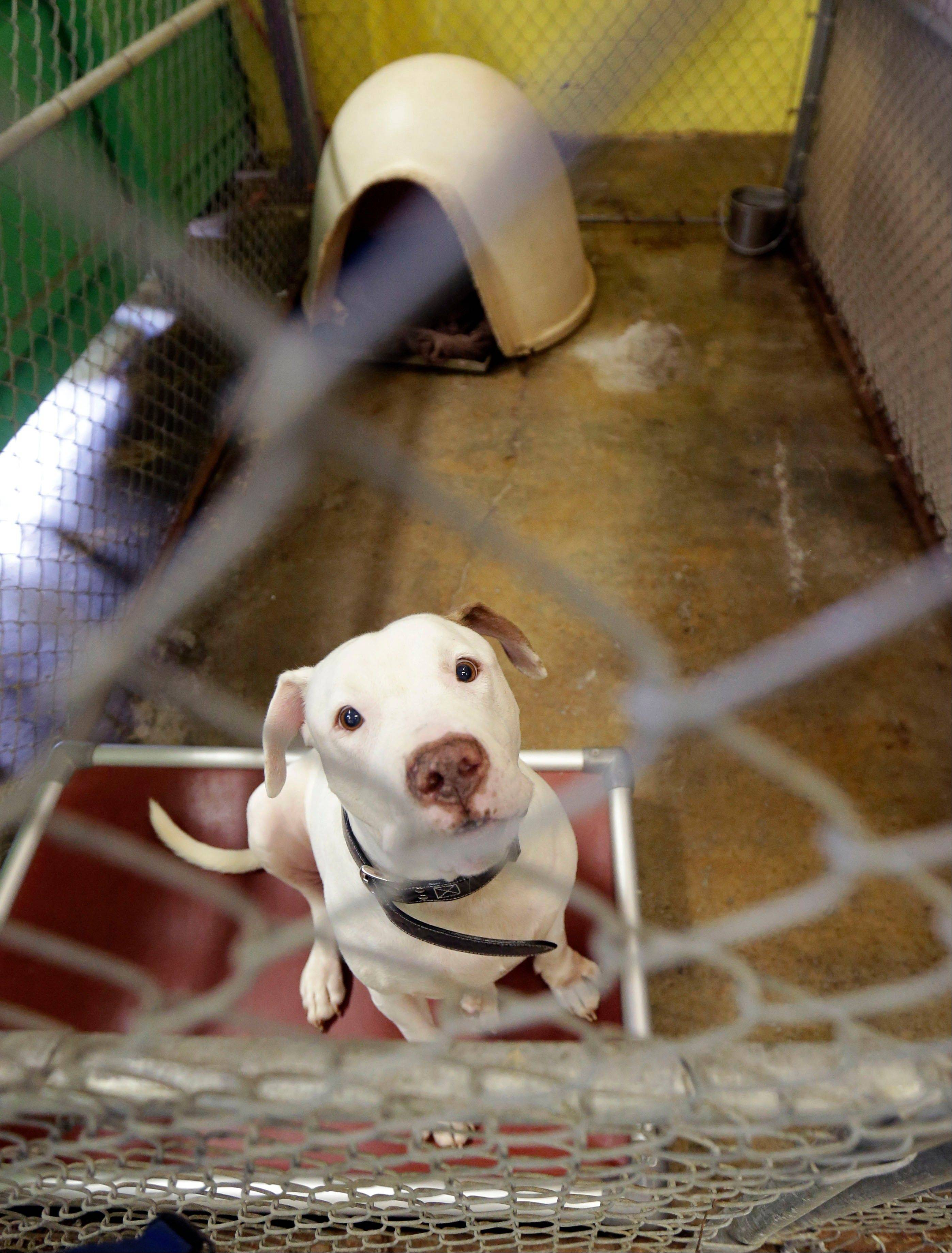 "A pit bull available for adoption sits in its enclosure at the Villalobos Rescue Center, run by Tia Maria Torres of Animal Planet's ""Pit Bulls and Parolees,"" in New Orleans."