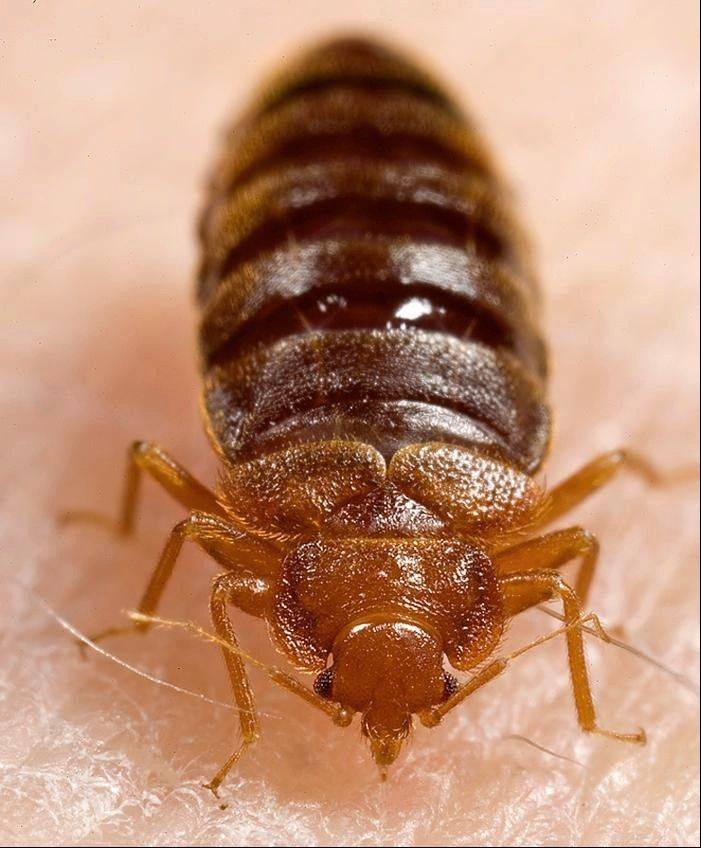 Bedbugs have been found in Hadley Junior High School in Glen Ellyn.