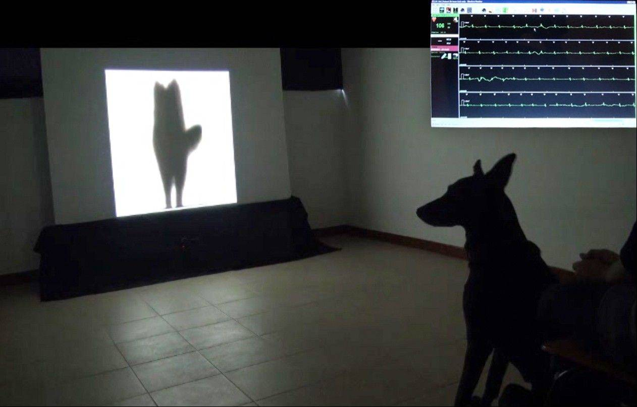A dog watches a video of the silhouette of another dog wagging its tail to its left. At top right is an inset image of the dog's heart rate while the dog was watching the video. A few years ago, researchers discovered a subtle difference in how dogs wag their tails.