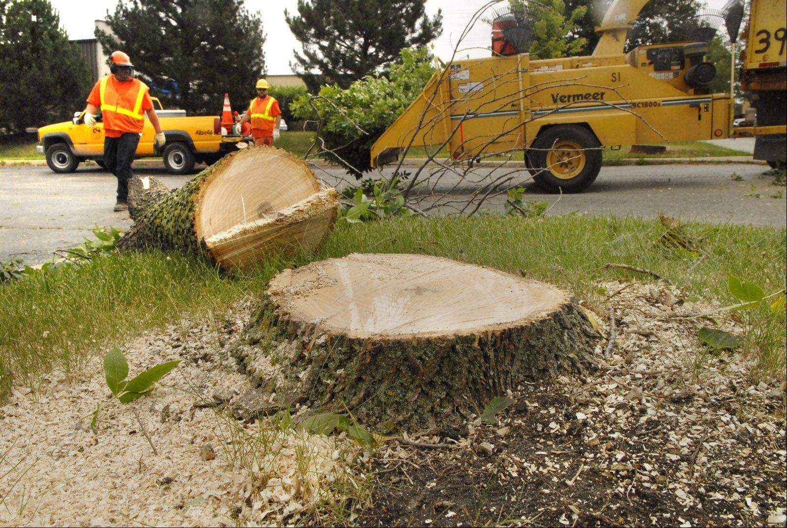 Ash trees in Buffalo Grove are dying at a rate faster than expected, officials say, causing the village to cut down hundreds more trees than the 1,000 targeted for removal this year. Officials blame the increase on last year's dry weather.