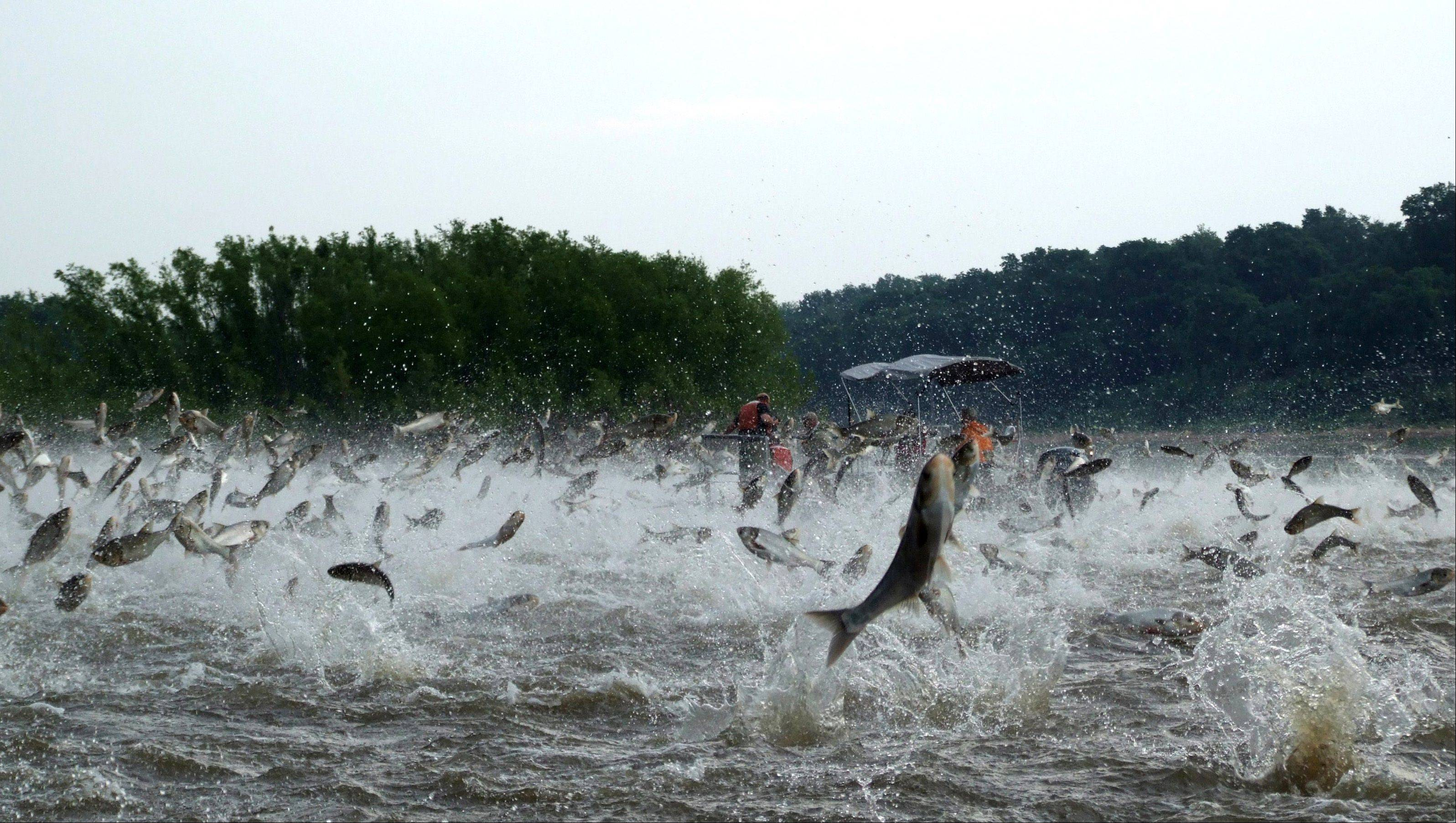Illinois River Asian carp jump out of the water after being disturbed by sounds of watercraft in this 2009 file photo.