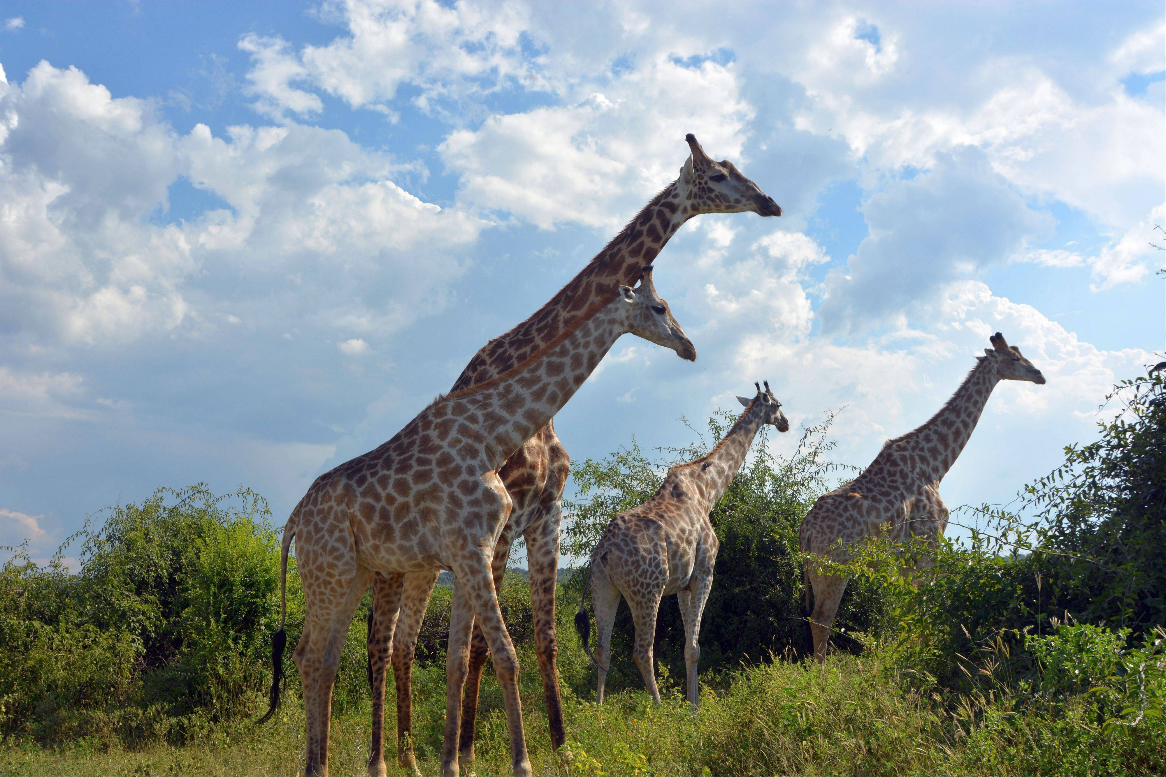 Giraffes stroll along the Chobe National Park in Botswana. Safaris in this rich game-viewing destination offer up-close views of giraffes and many other animals, including lions, elephants and hippos.