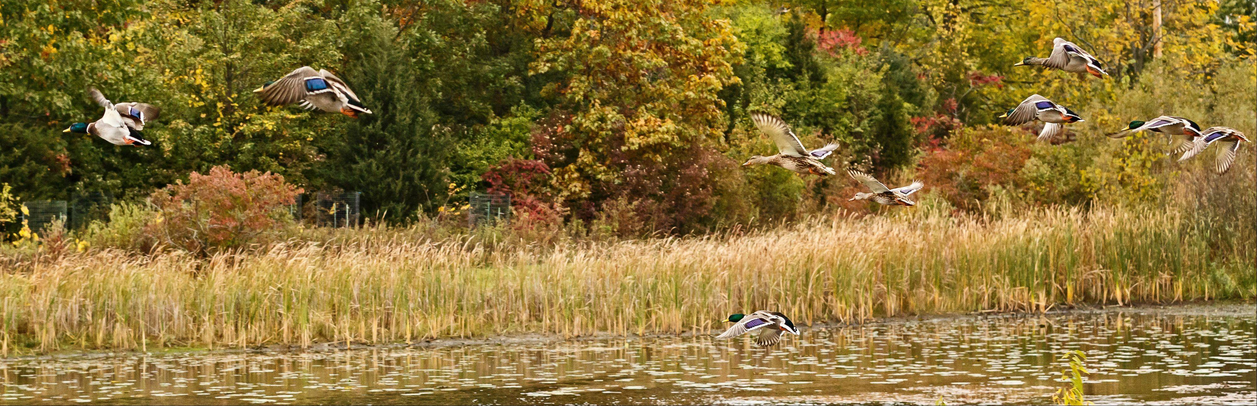 A flock of ducks lands in a pond in Grant Woods Forest Preserve in Ingleside on October 16th.
