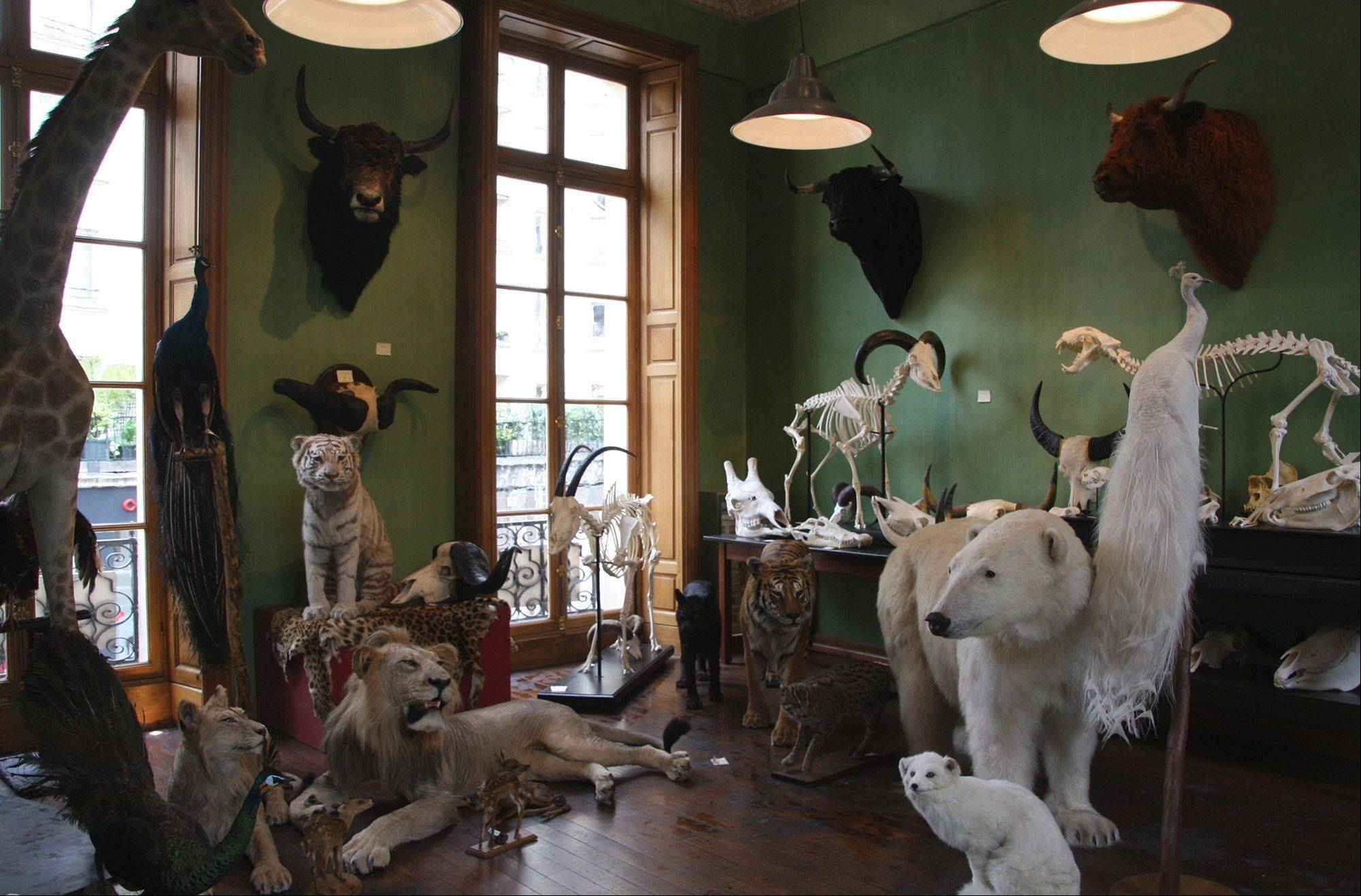 The showroom at Maison de Deyrolle in Paris showcases some of their many taxidermy masterpieces. Even if you're not a fan of this variety of stuffed animals, it's worth a visit to take in the incredible 18th-century architecture and impeccably handcrafted wood display cases.