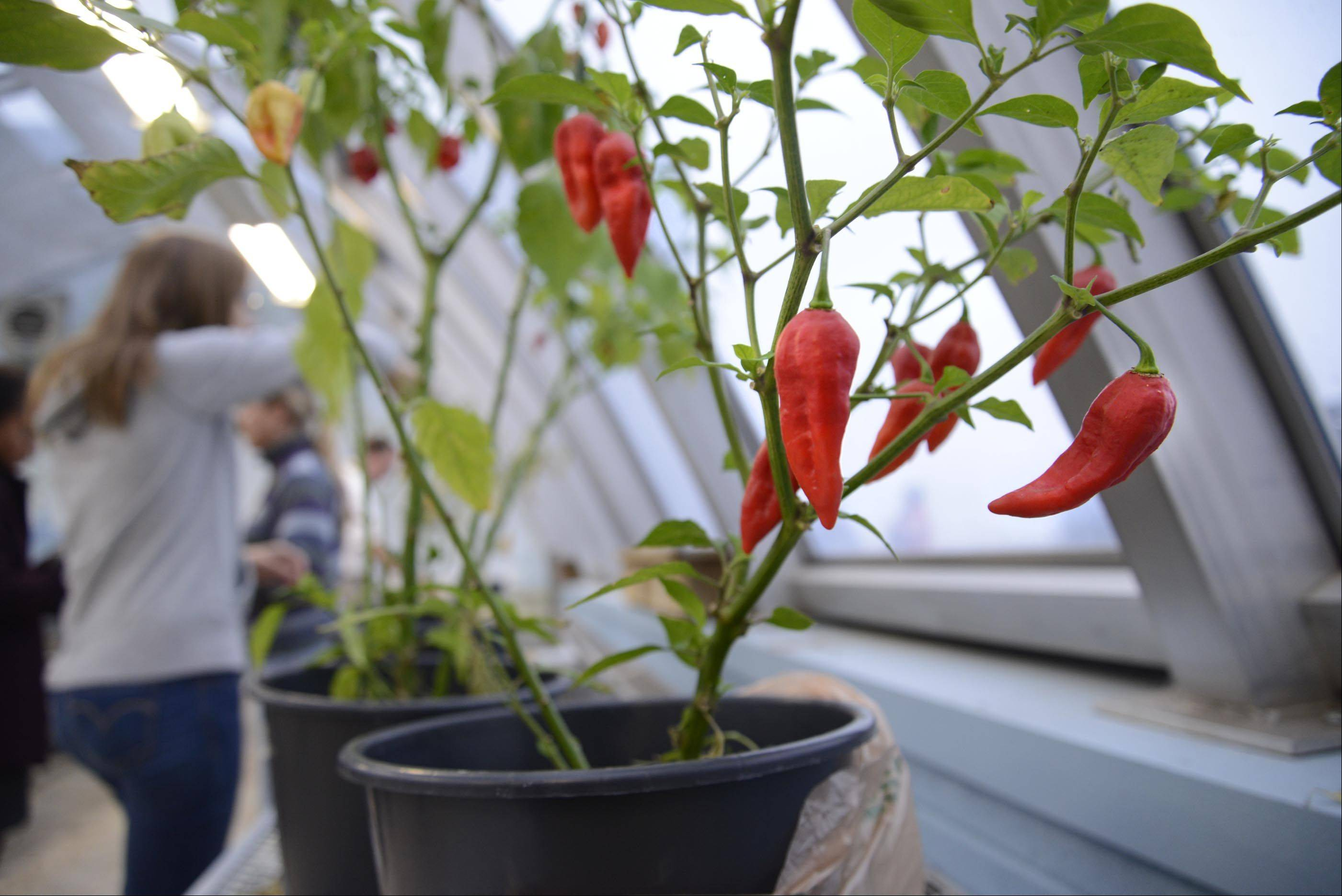 Red peppers are growing inside the newly renovated greenhouse at Jacobs High School on the school's roof. The project was done by the school's Green Eagles club. The greenhouse now grows food for a local food pantry, is open for tours and will figure prominently in future curriculum designed to maximize its use.