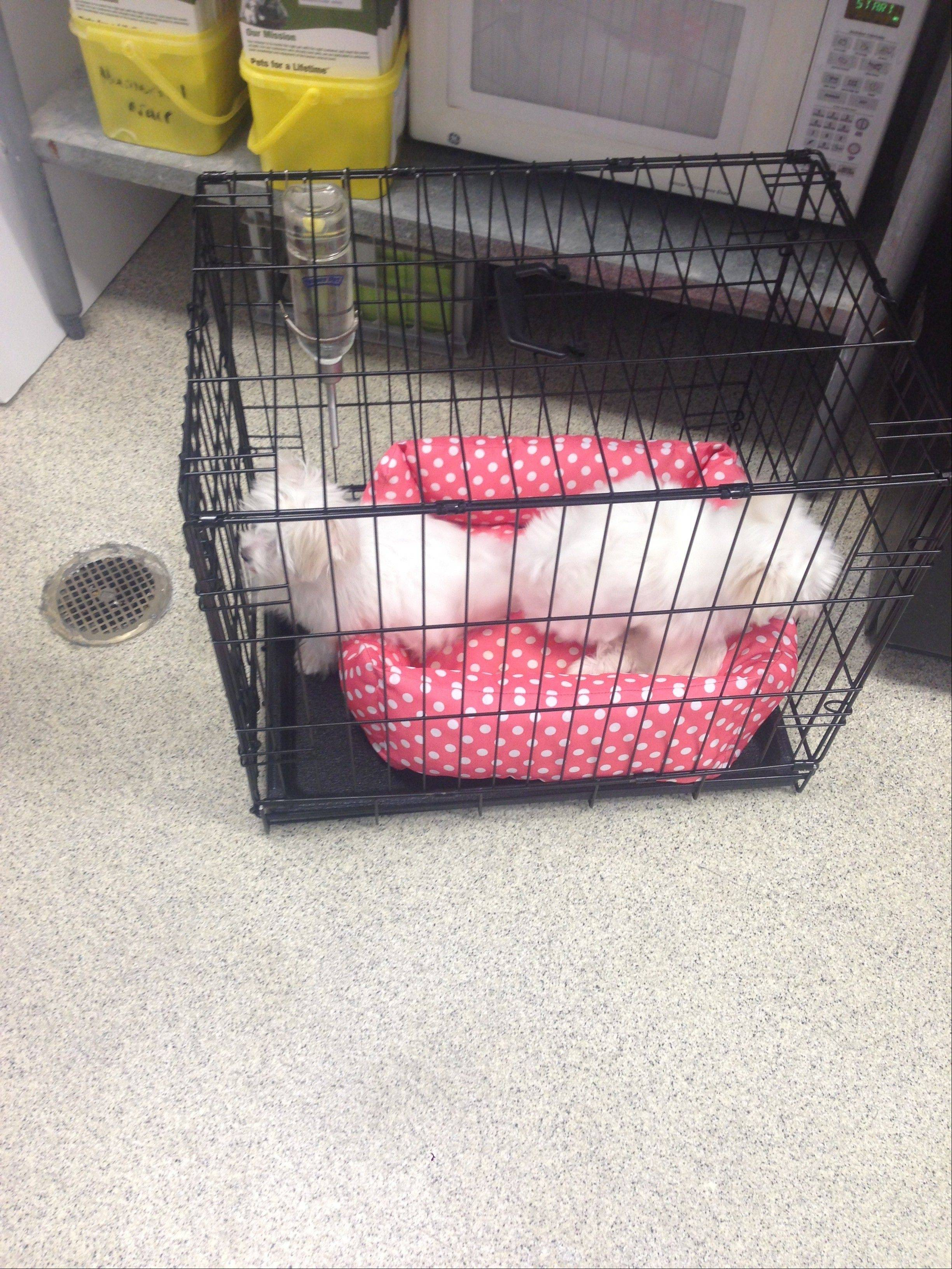Two puppies stolen from Petland stores in Bolingbrook and Naperville were returned Sunday in this kennel to a Petland store near St. Louis. The puppies are expected back in Illinois by Tuesday.