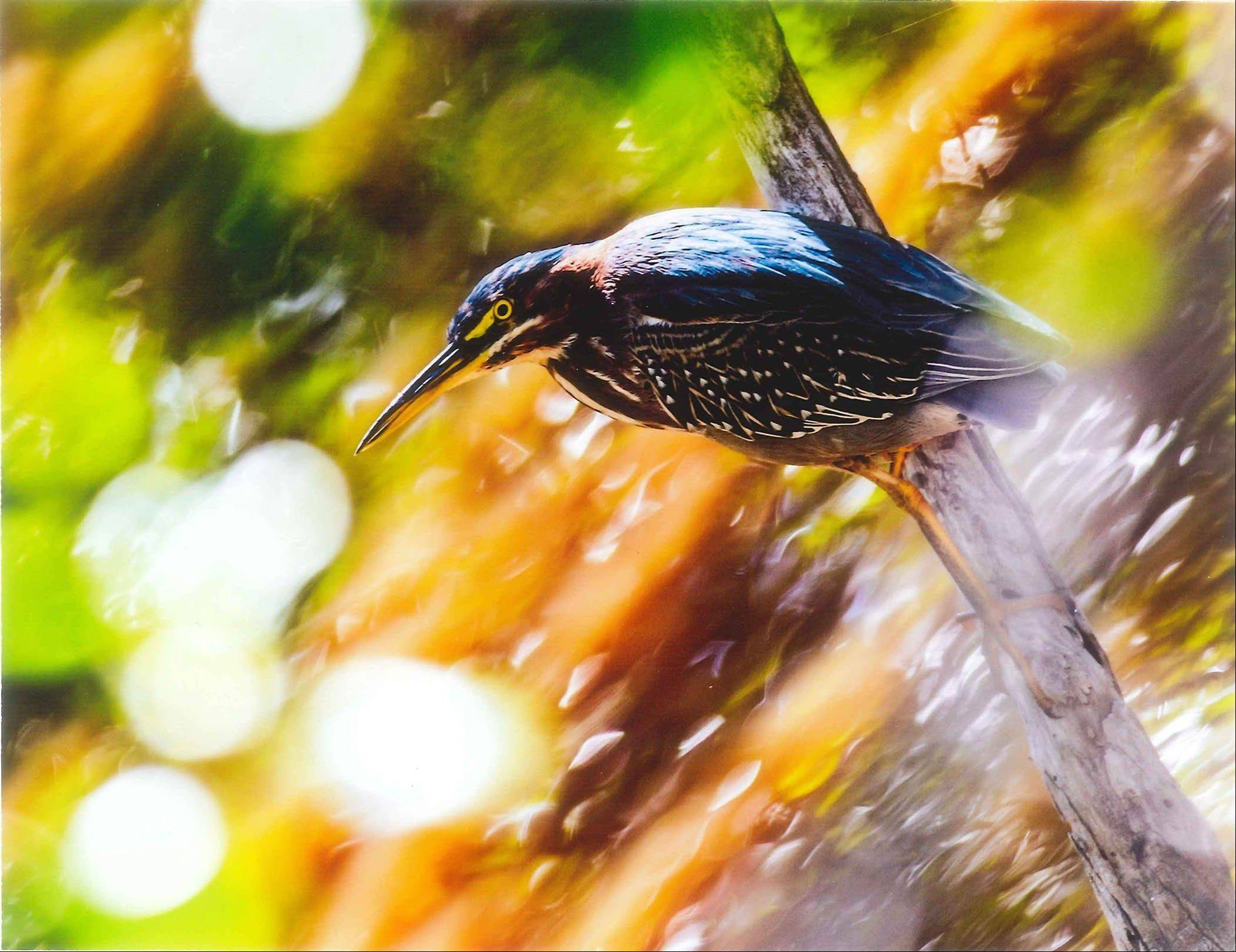 This image of a green heron at the Brookfield Zoo won Schaumburg resident Randolph Badiola the grand prize in the Chicago Zoological Society�s 2013 Photo Contest.