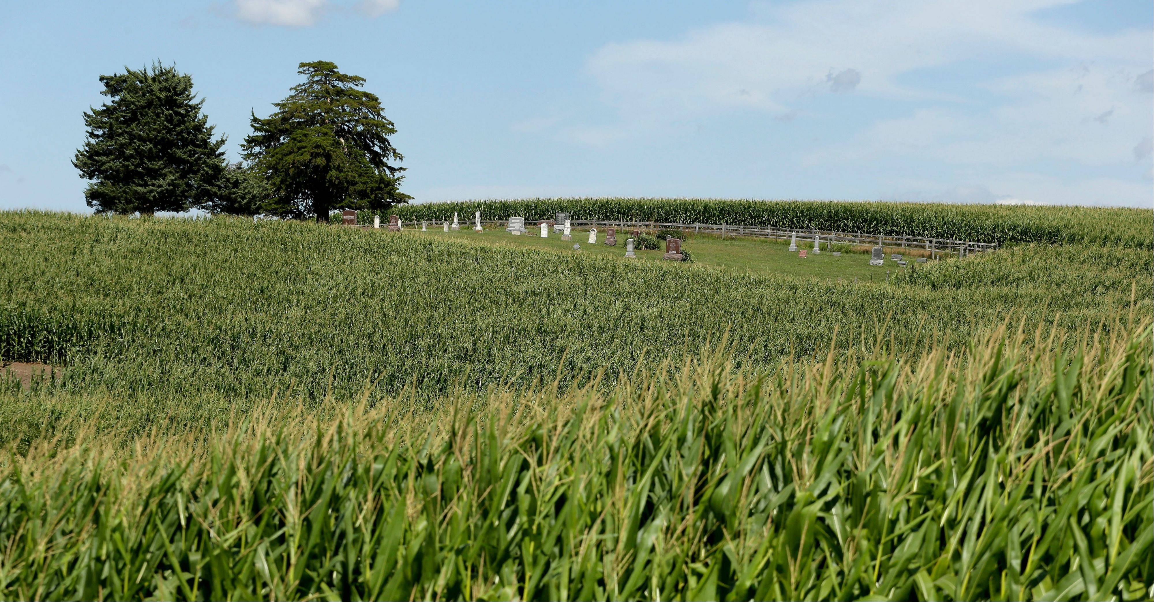 In this July 26, 2013 photo, the Sturgeon Cemetery near Sewal, Iowa stands as an island among corn plants. Forty-four percent of the nation's corn crop in 2012 was used for fuel, about twice the rate seen in 2006.