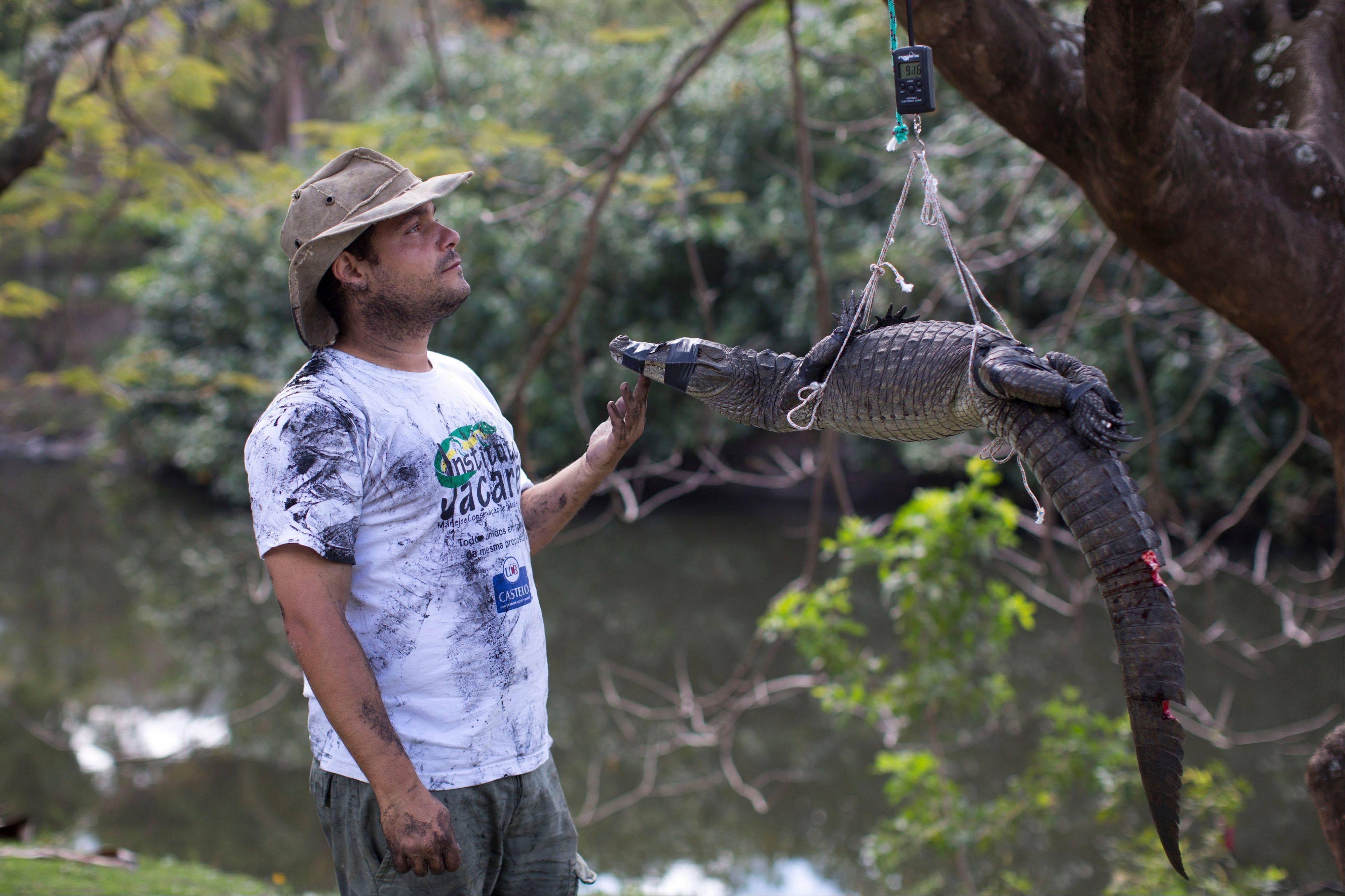 Ecology professor Ricardo Freitas weighs a broad-snouted caiman before releasing it back in the water channel in the affluent Recreio dos Bandeirantes suburb of Rio de Janeiro, Brazil. While local caimans average about 1.5 meters (4.9 feet) long and weigh about 10 kilograms (22 pounds), older males can be up to twice as long and much heavier. Still, Freitas has been known to dive into the water to catch some with his bare hands.