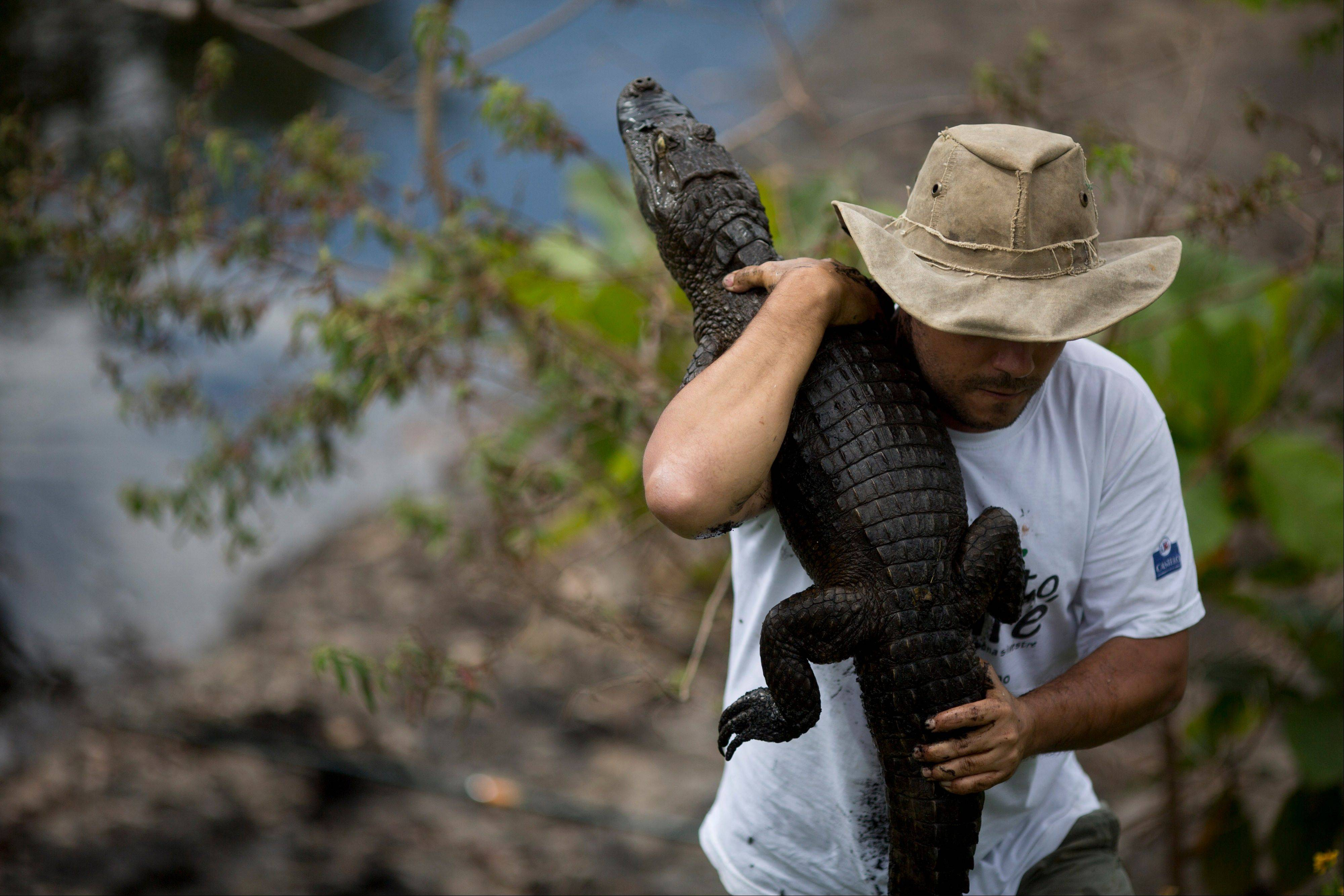 Ecology professor Ricardo Freitas holds onto to a broad-snouted caiman he caught to examine, then release back into the water channel in the affluent Recreio dos Bandeirantes suburb of Rio de Janeiro, Brazil. With a population thatís 85 percent male, a serious demographic problem is looming for Rioís caimans, said Freitas, who suspects that the uncontrolled release of raw sewage is behind the gender imbalance. Organic matter raises water warmer and among caimans, high temperatures during a certain stage of incubation result in male offspring.