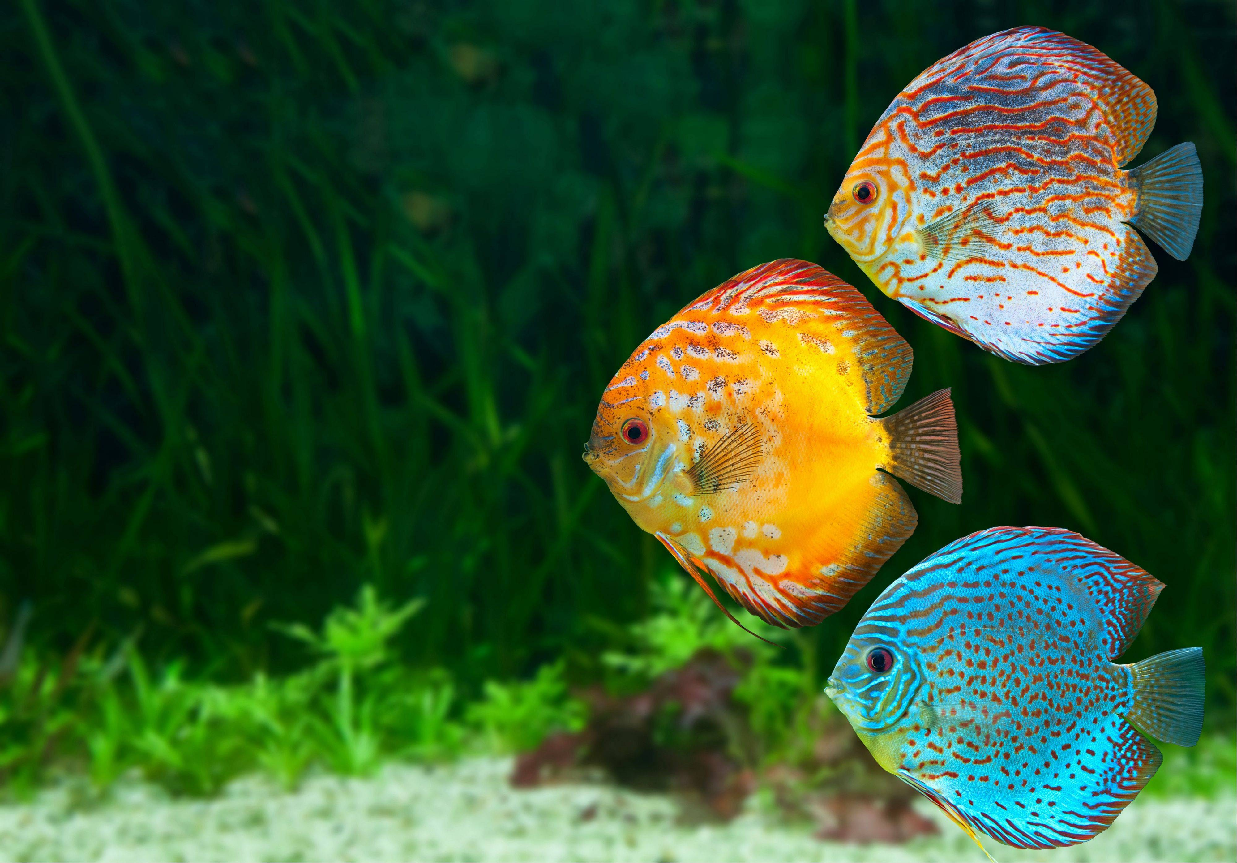 See discus fish and other creatures at the Aquatic Experience Chicago at the Renaissance Schaumburg Hotel and Convention Center in Schaumburg the weekend of Friday, Nov. 15, through Sunday, Nov. 17.