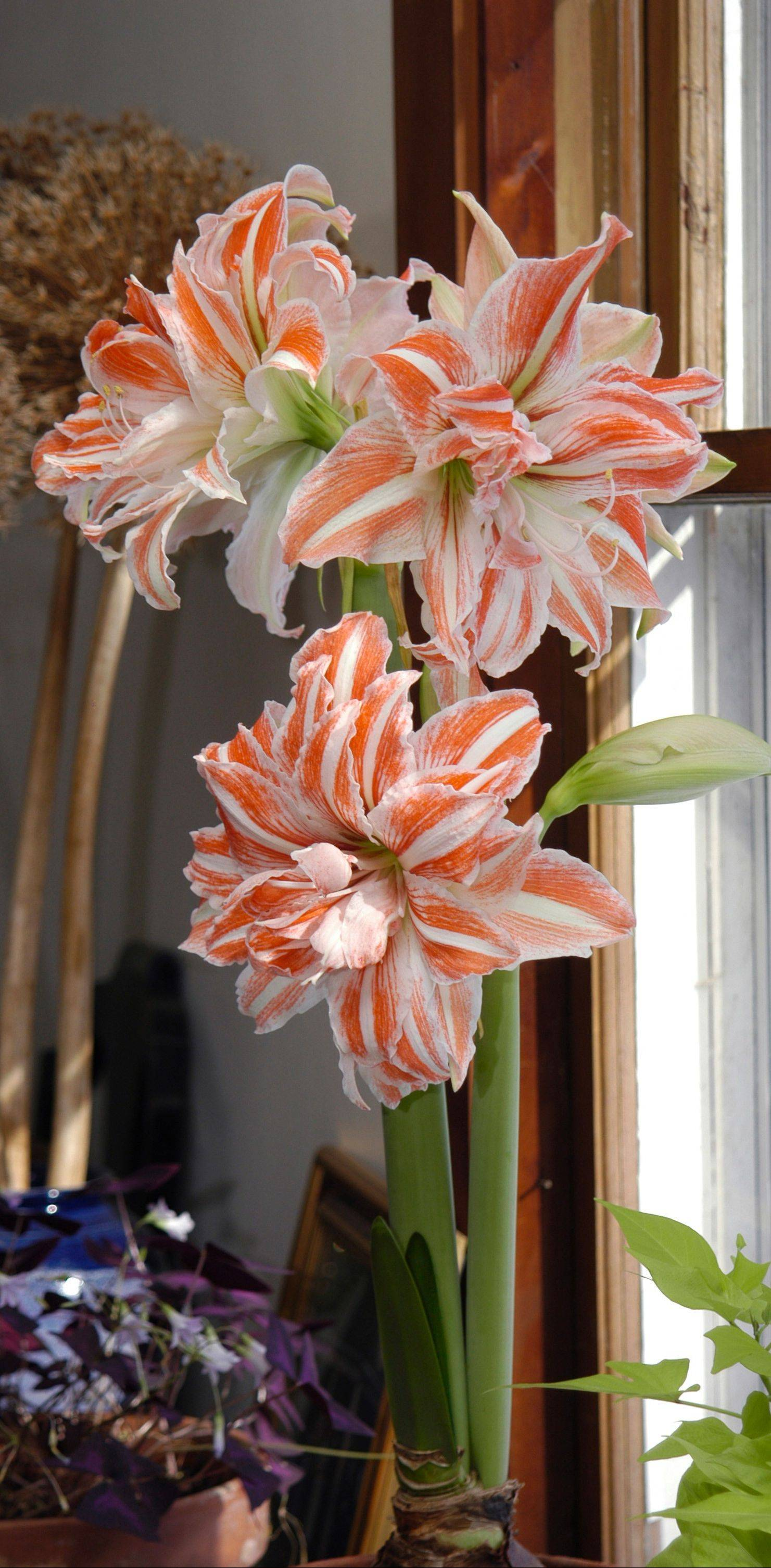 The double amaryllis Dancing Queen is bicolored.
