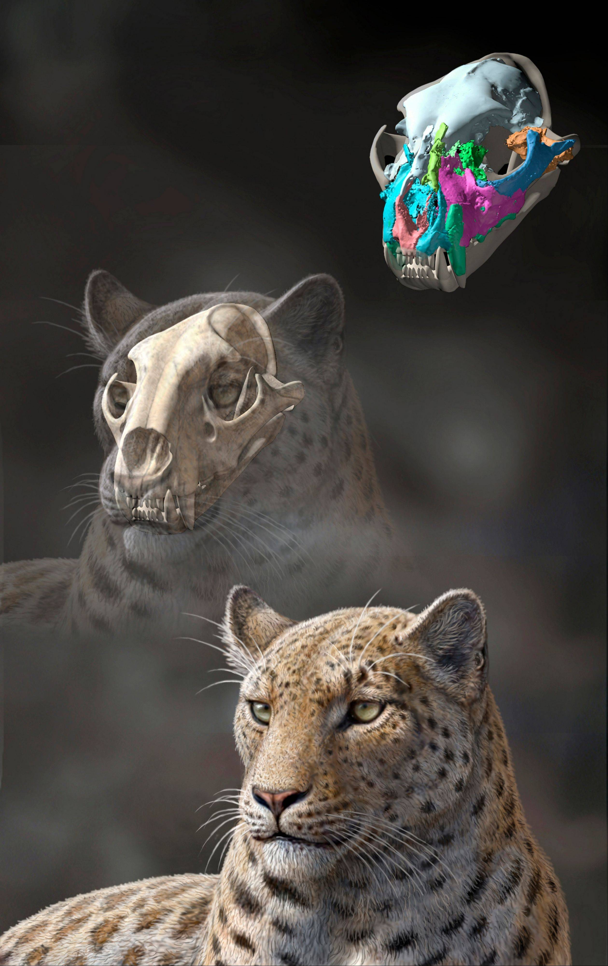 This illustration shows a reconstruction of an extinct big cat, Panthera blytheae, based on a 4.4 million-year-old skull.