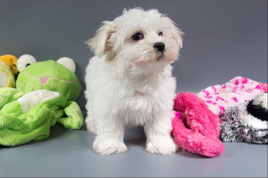 Naperville police said Friday they are seeking an arrest warrant for a suspect in the theft of this 2-month-old Havanese puppy named Casper from the Naperville Petland store on Nov. 8.