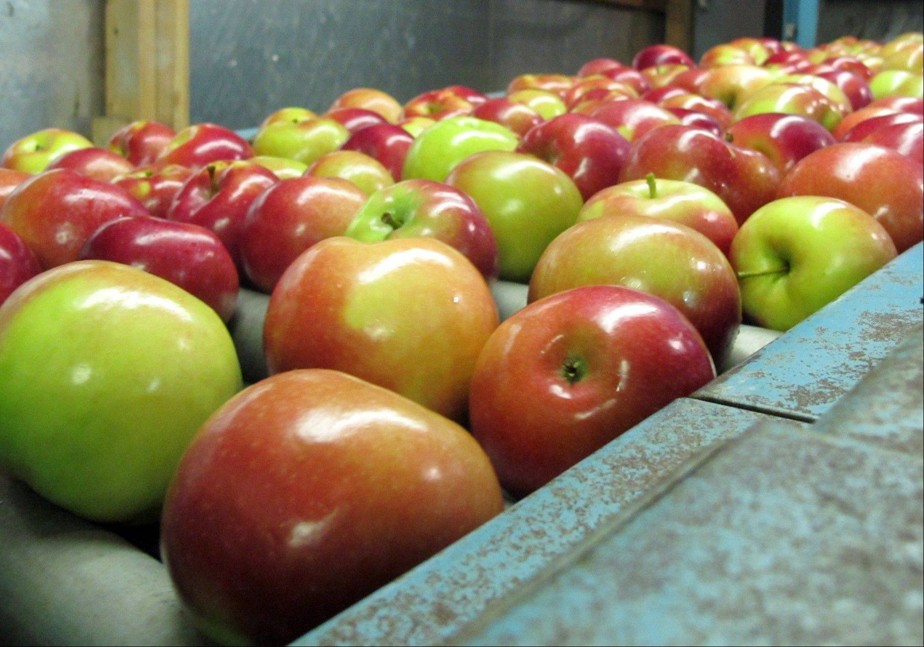 Apples move along a conveyor line at the King Orchards production warehouse in Central Lake, Mich. This year's Michigan apple crop is expected to be 10 times as plentiful as last year's.