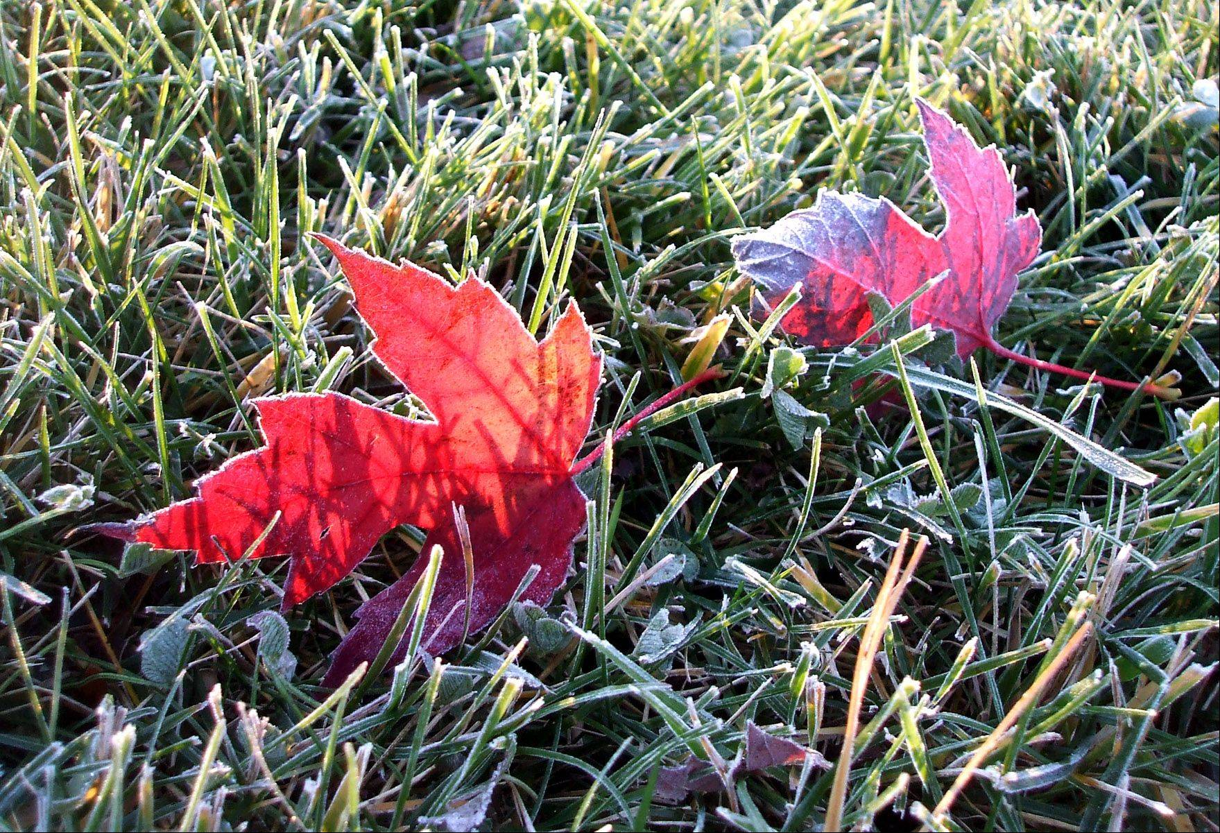 An early morning frost outlines fallen leaves from an Autumn Blaze maple.