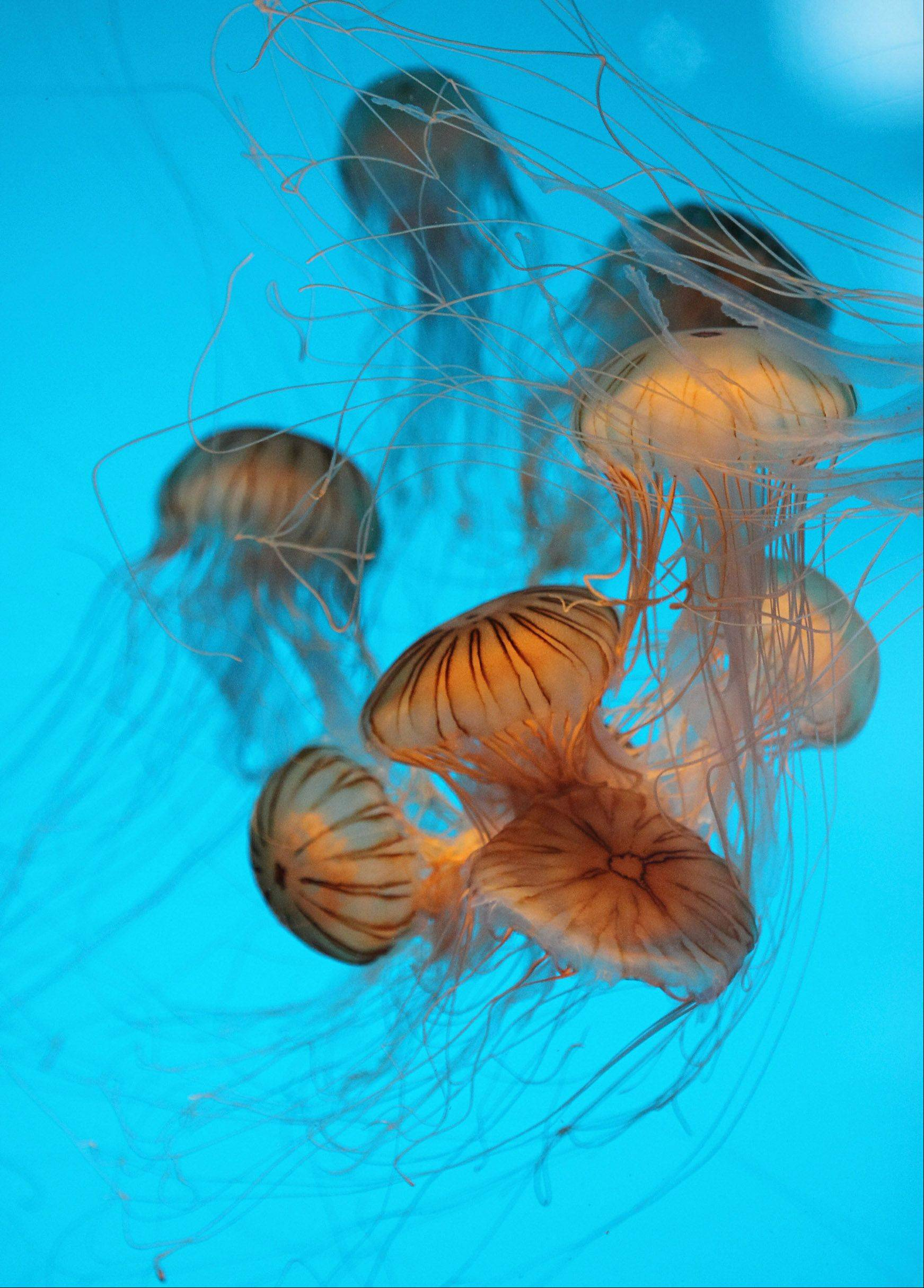 Jellyfish swim in a tank at the Monterey Bay Aquarium in California last August.