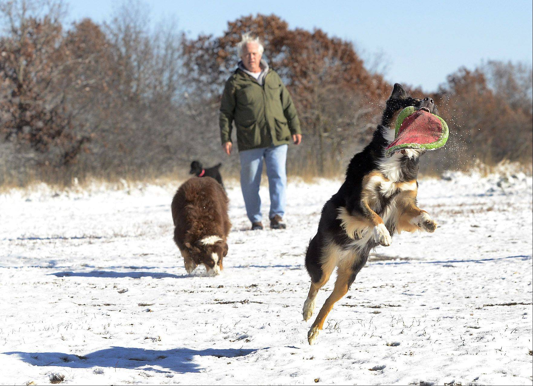 Jim Walton, of Libertyville, gives his dogs, Liesl and Penne, a workout at the Lakewood Dog Exercise Area, Lake County Forest Preserve, in Wauconda. Here he has one of his Australian Shepards, Liesl, jumping for a Frisbee.