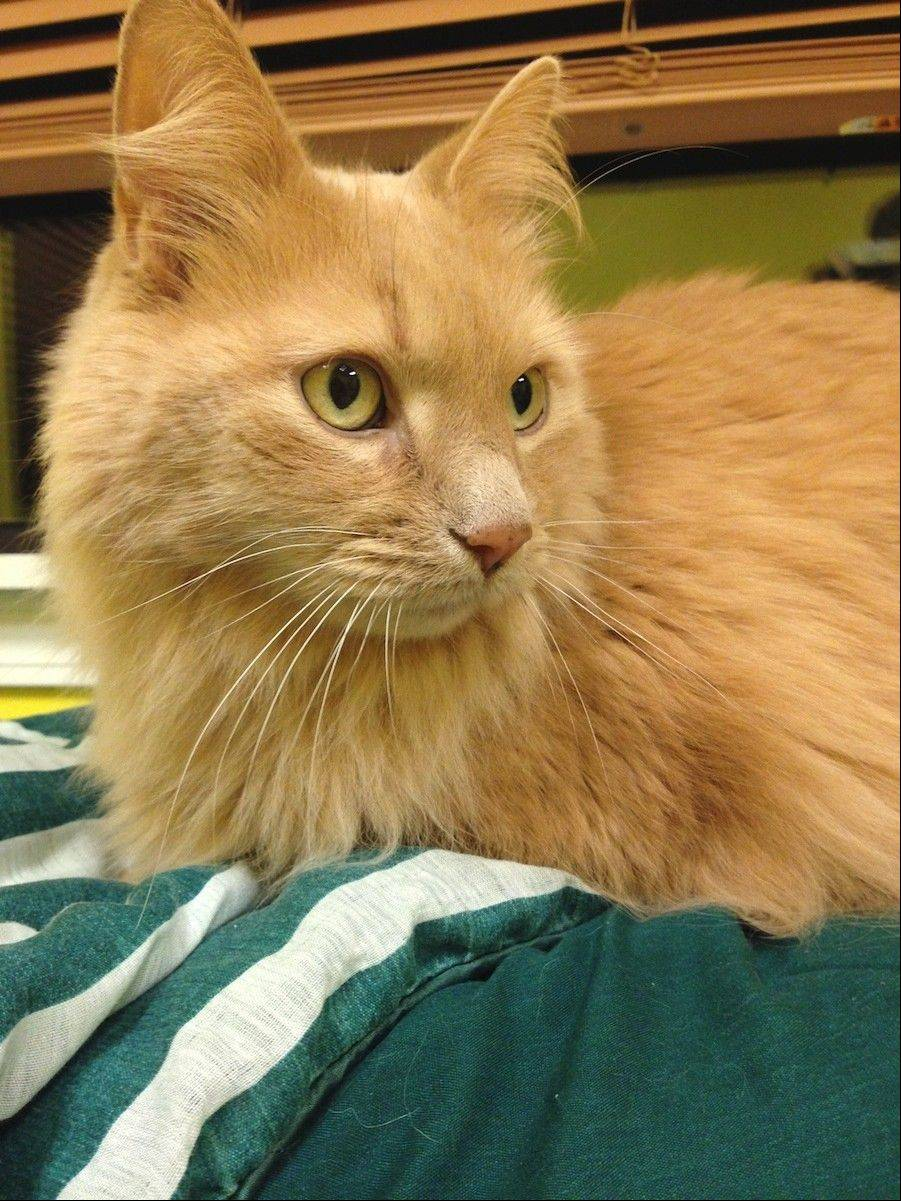Cashmere, a domestic longhair, male is about 9 years old.