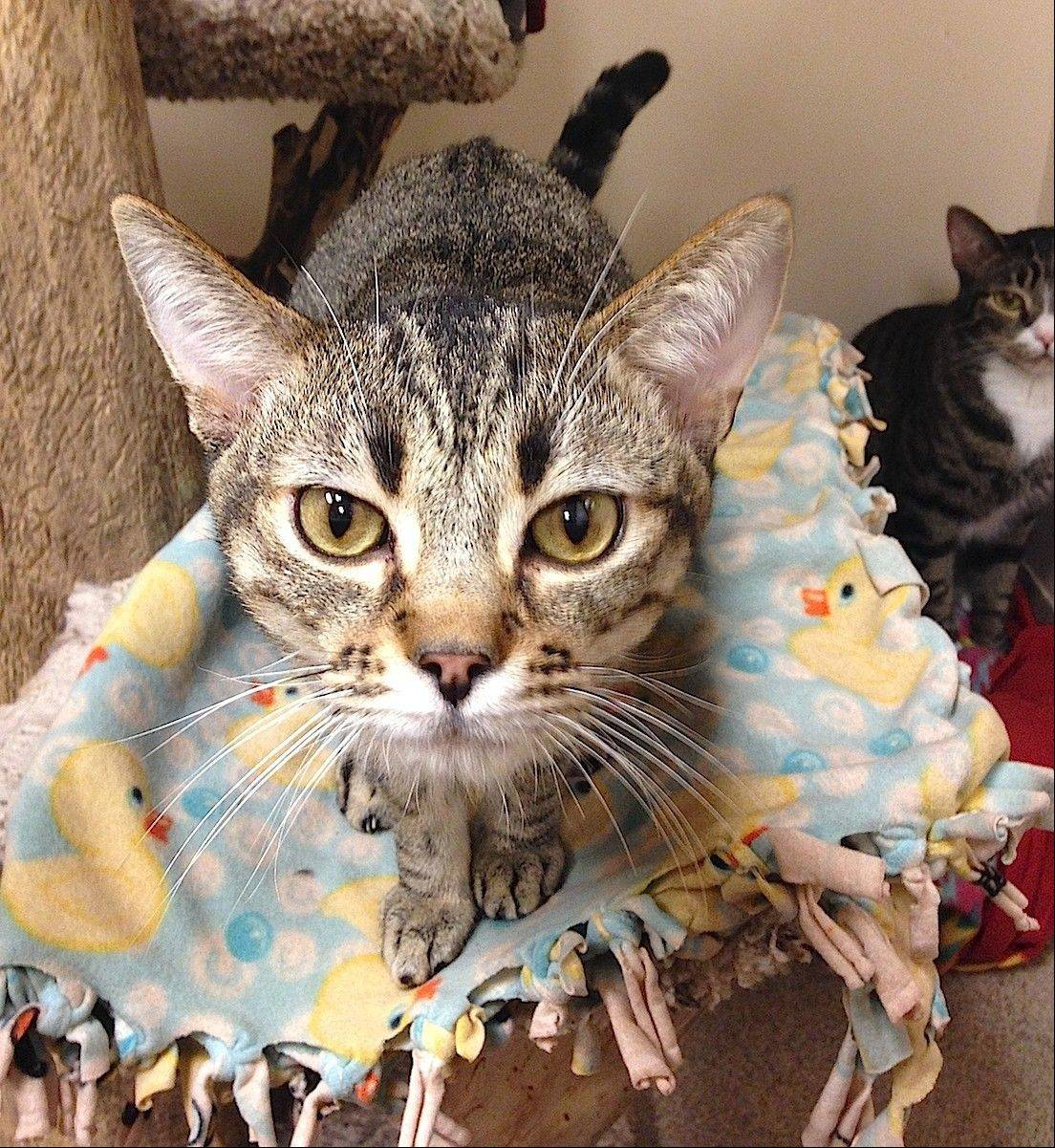 Duncan, a domestic shorthair, male is 1 year old.