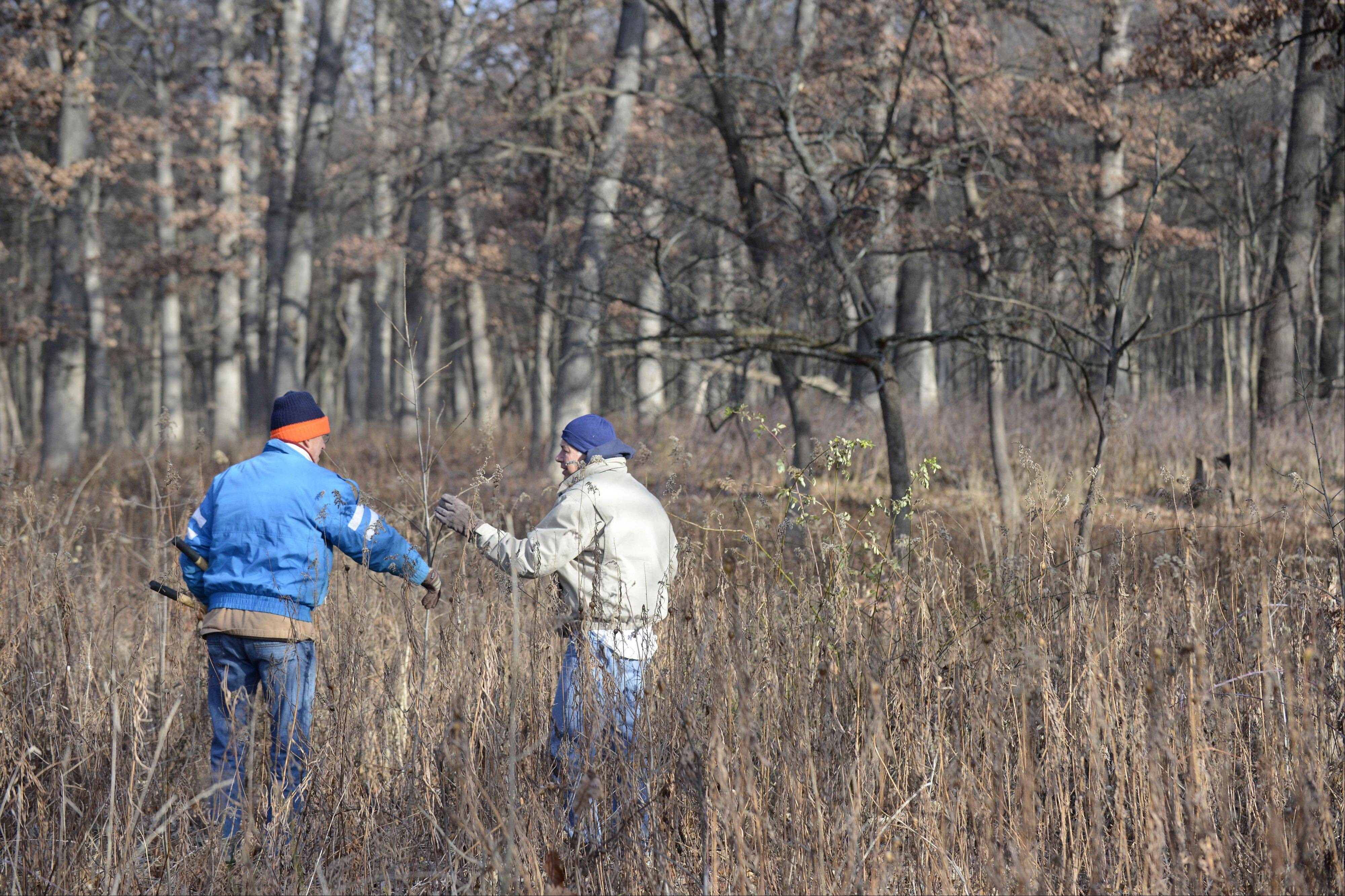 John Voelker, left, of Aurora and Tom Meitl of Geneva determine if a plant is an invasive species like buckthorn or honey suckle as they cut nonnative growth during a restoration workday Saturday at Bliss Woods Forest Preserve near Sugar Grove. Both have been volunteering at restoration days for about five years.