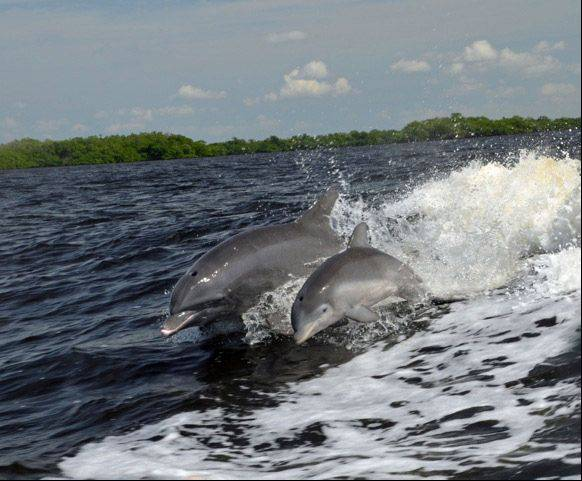 Dolphin mother and calf follow a boat off the coast of Sanibel, Florida last month.