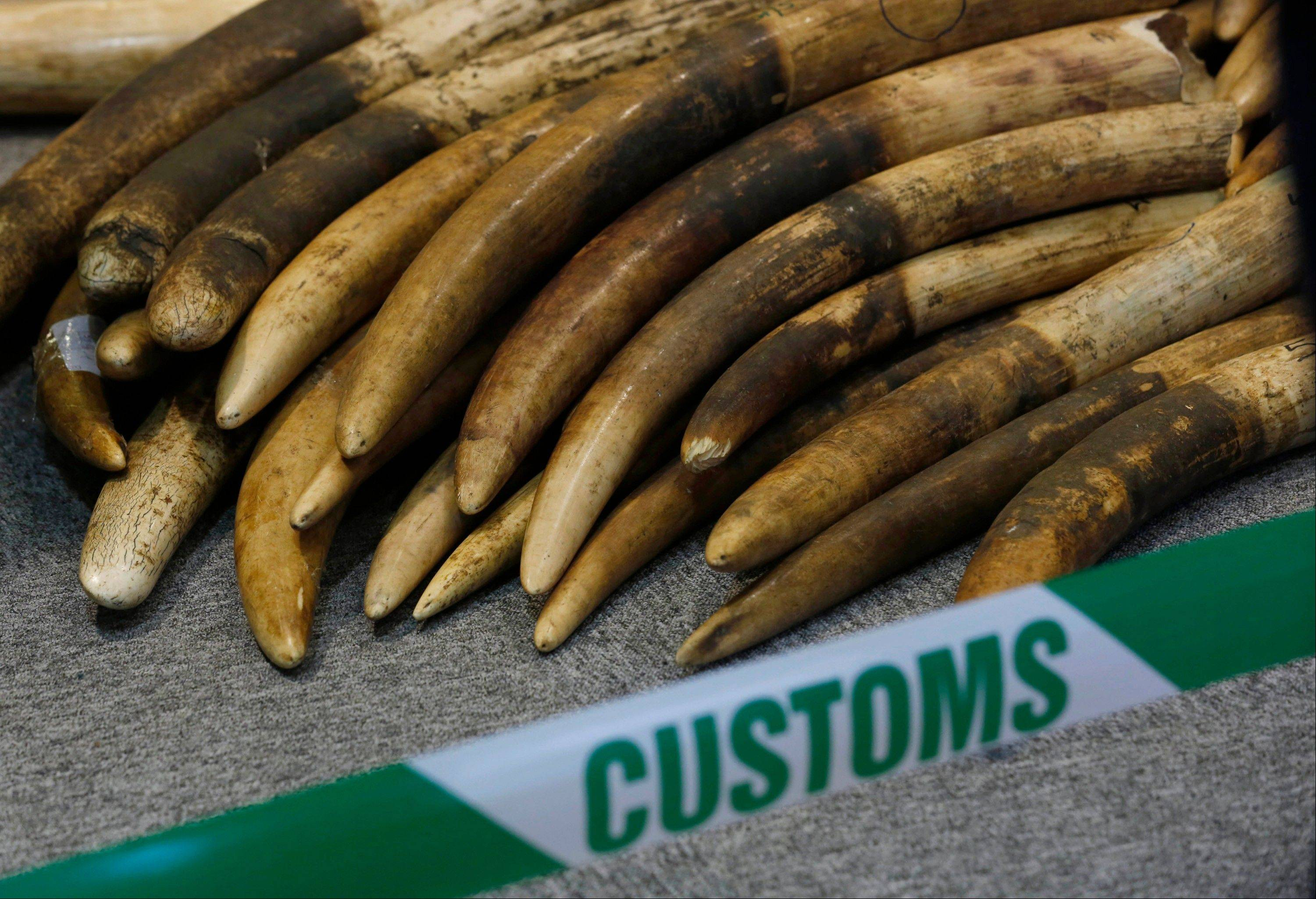 Elephant tusks are displayed after being confiscated by the Customs in Hong Kong.