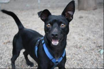 "Heartland Animal Shelter is promoting ""Back in Black,"" a national campaign to find homes for black cats and dogs. Gibson, a young, playful Chihuahua mix, has been waiting patiently for a home for nearly a year. His adoption fee is reduced in November."