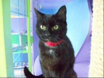 "Mistique, a sweet, quiet, black cat arrived at Heartland with her kittens nearly two years ago. They were adopted and she continues to dream of a forever home. Her adoption fee is reduced in November as part of Heartland's ""Back in Black"" campaign."