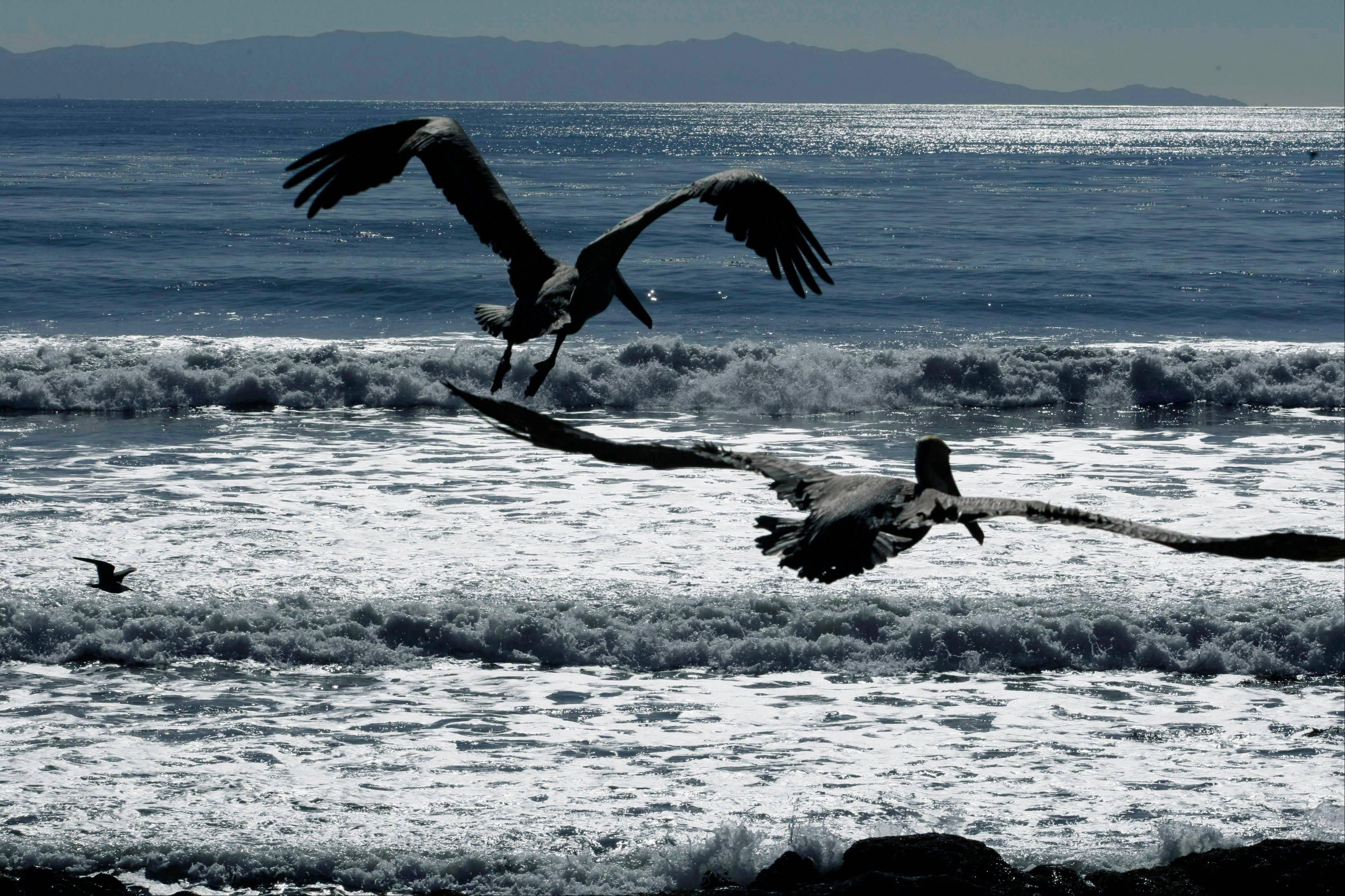 California brown pelicans fly off after being released by the International Bird Rescue Research Center at the beach in San Pedro, Calif.