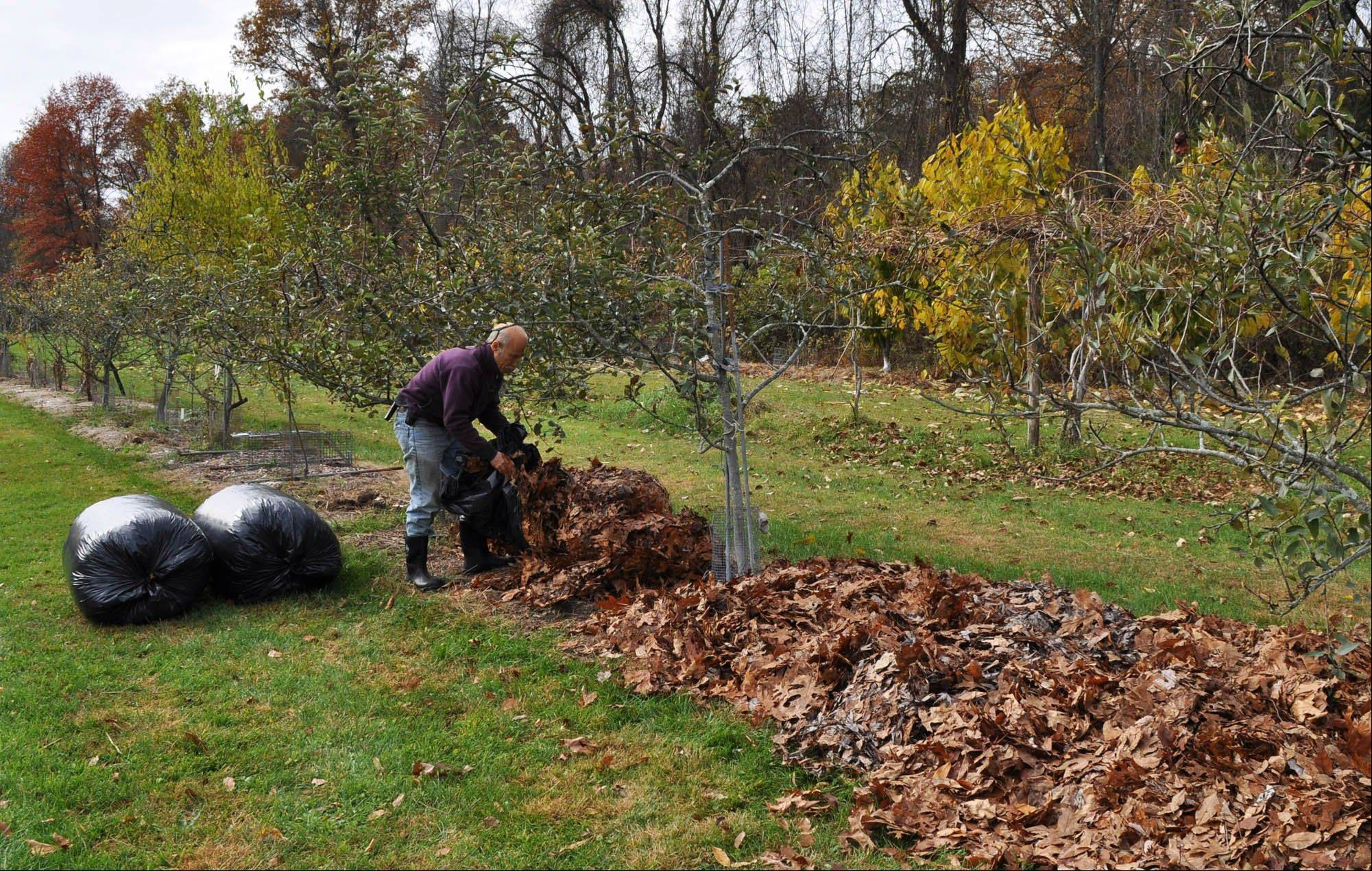 A gardener spreads leaves beneath a row of dwarf apple trees, where a leafy mulch keeps weeds from growing and stealing nutrients and water from small trees.