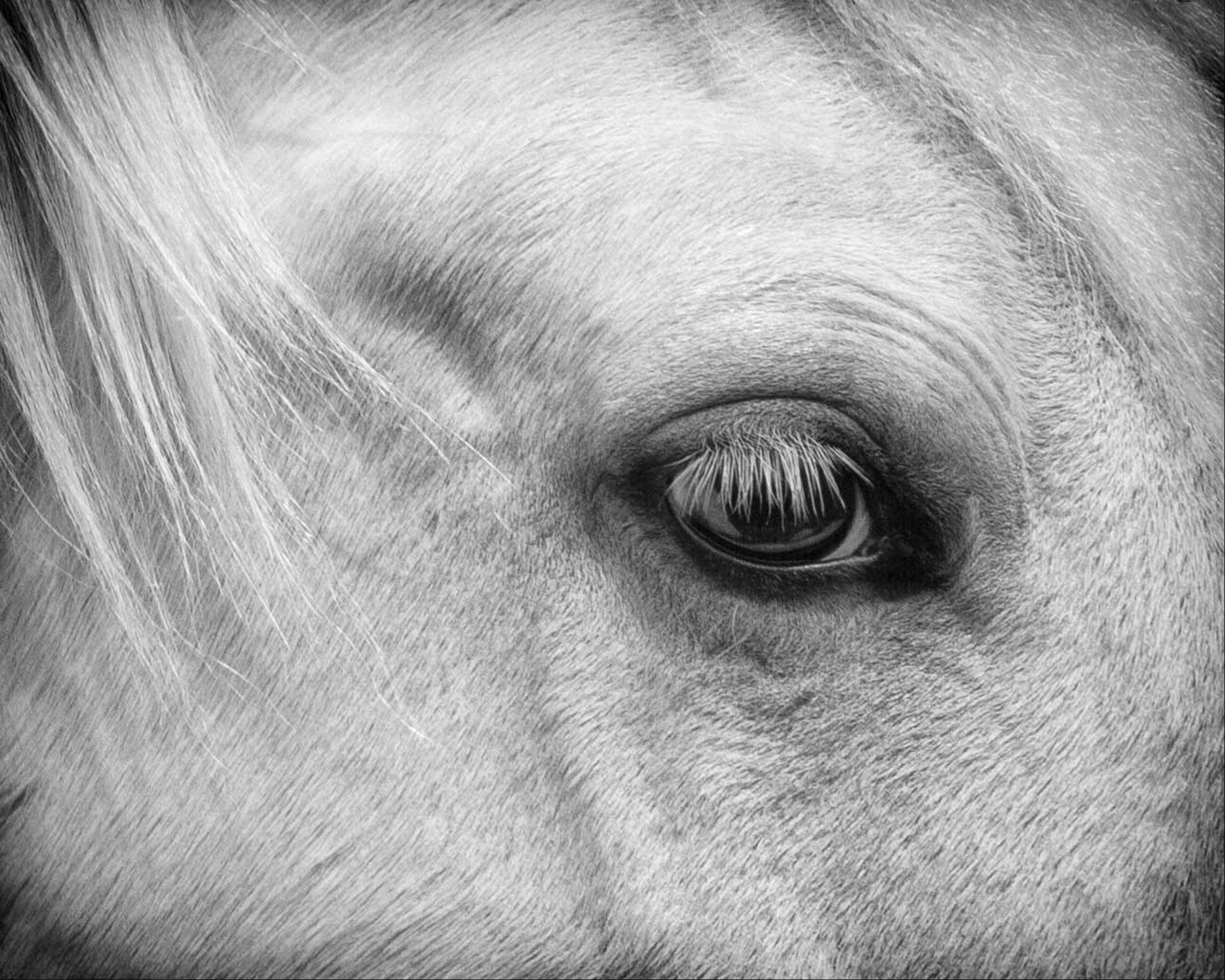 A horse with expressive eyes, white eyelashes and the bit of mane cools down in a parking lot in Ohio last May.