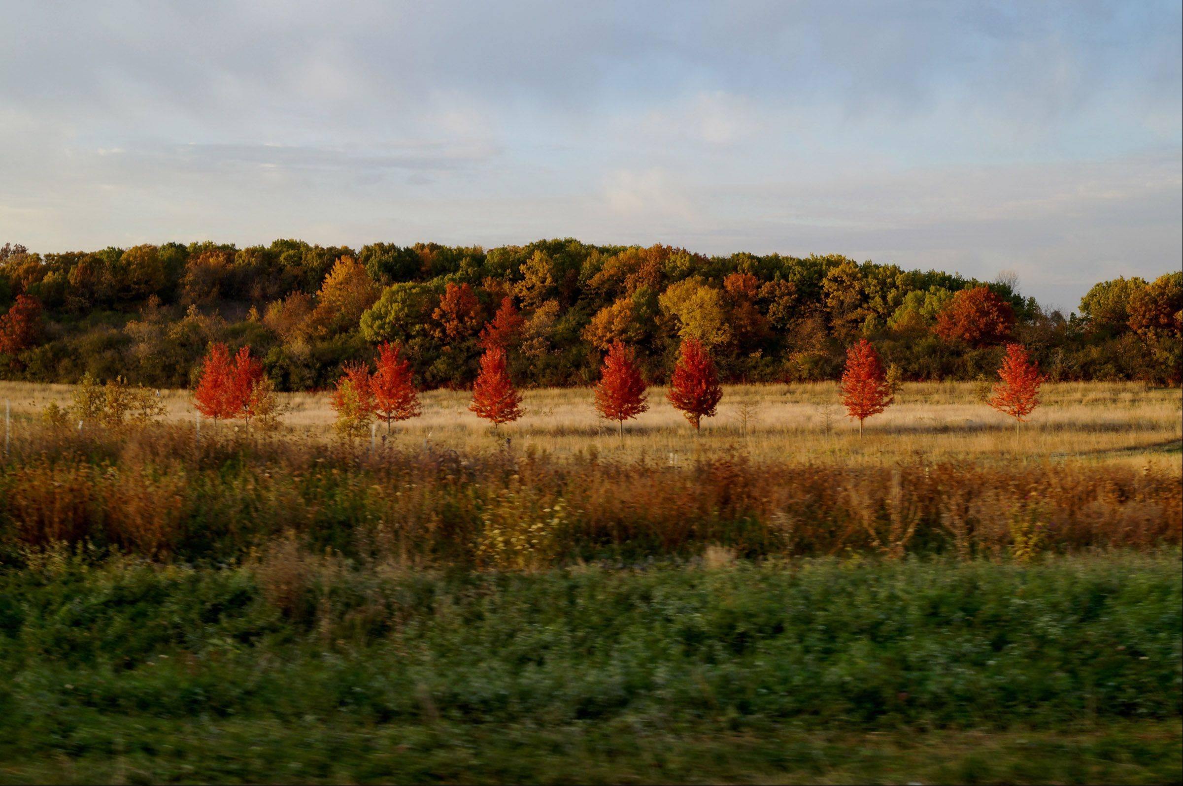 Trees have made a color transition in a McHenry forest preserve on Halloween.