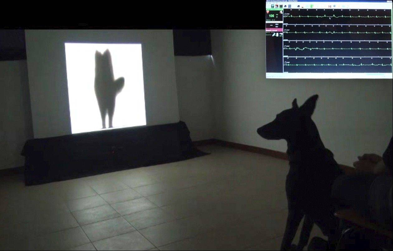 The University of Trento in Italy measured the heart rates of 43 dogs as they watched videos of silhouettes.