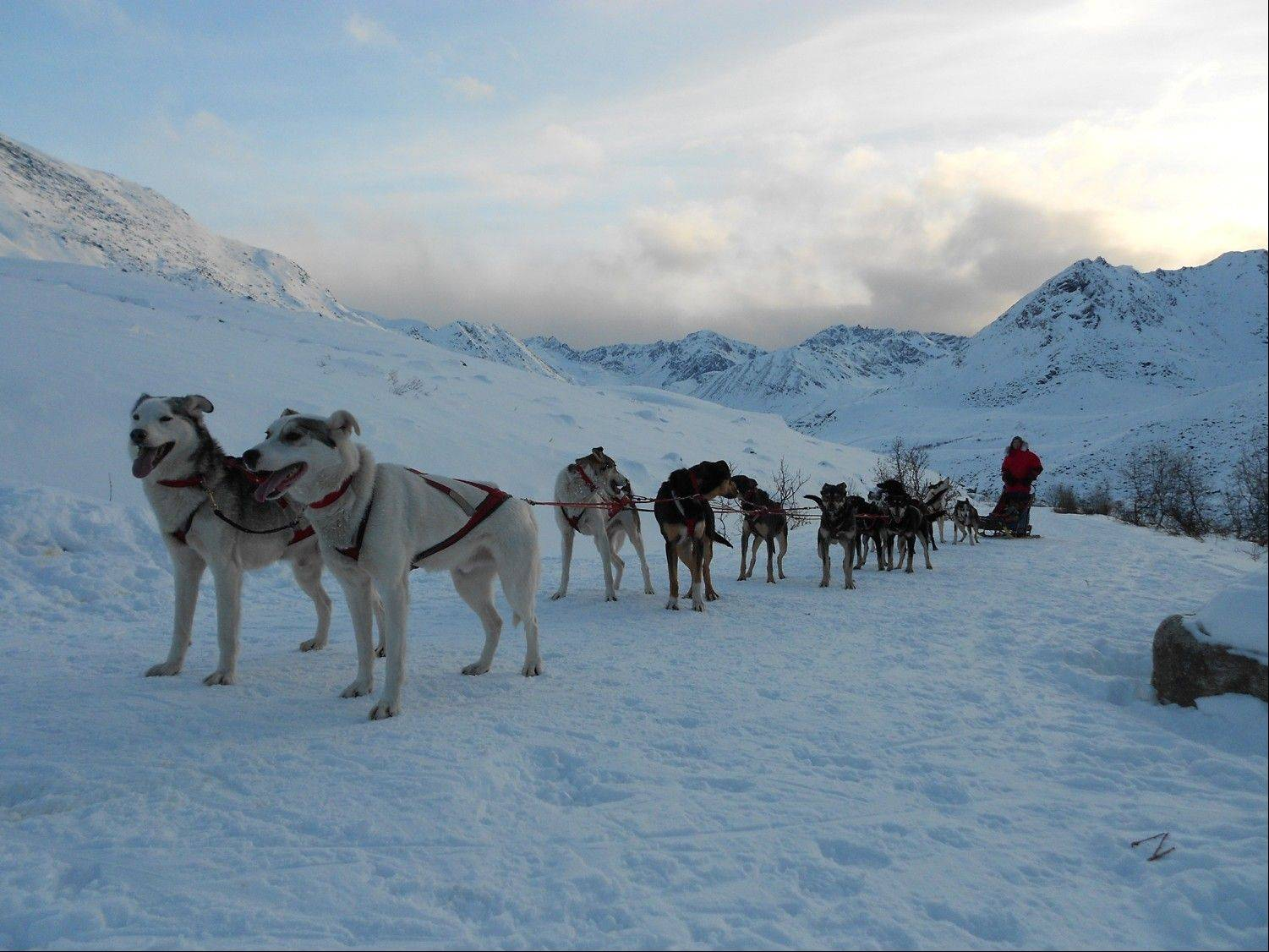 Bejna's mixed-breed Alaskan Huskies are now training for the Iditarod.