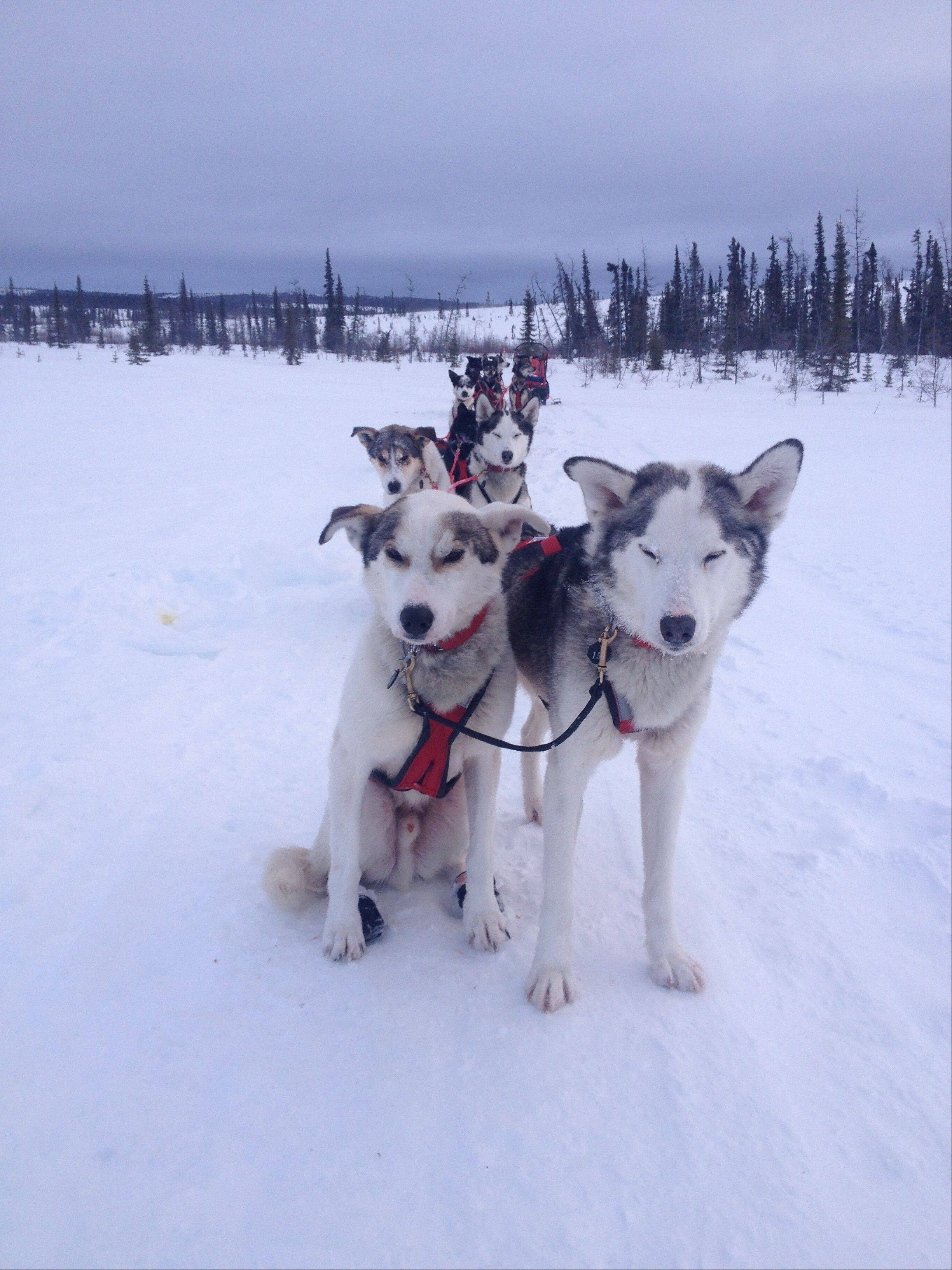 Bejna's dog sled team takes a rest during training. Preparing for the Iditarod takes months and is like training to run a marathon, Bejna said.