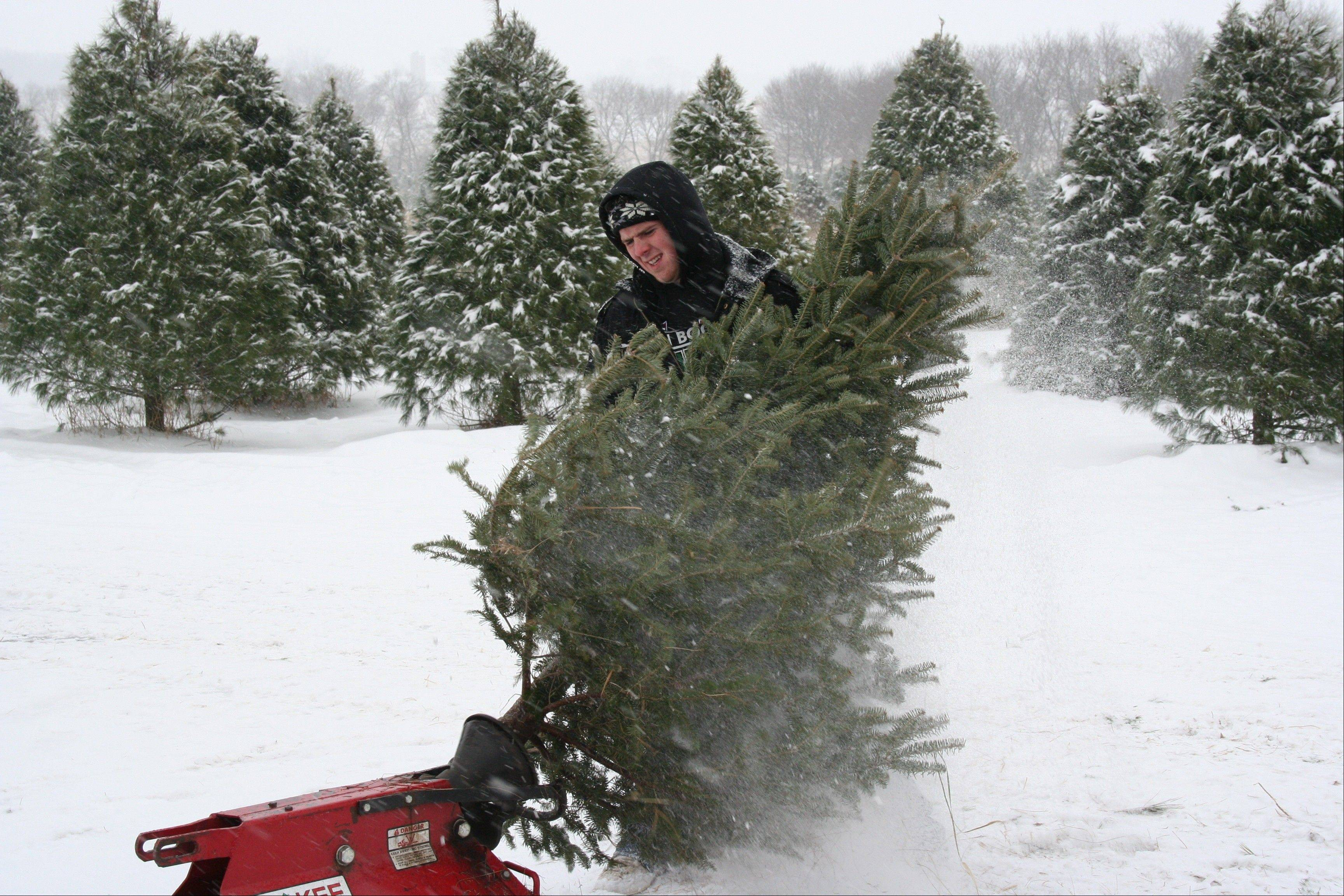 Choose and cut your own Christmas tree at Ben's Christmas Tree Farm in Harvard.