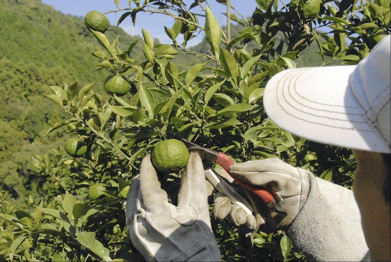 Yuzu are picked by hand while still green in Usa, Japan. Farmers in mountainous areas have long used yuzu citrus peel to produce the seasoning yuzu kosho, a popular seasoning for winter dishes.