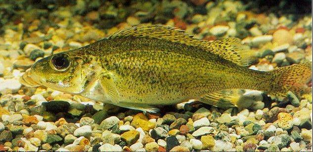 This undated photo provided by the U.S. Geological Survey shows a Eurasian ruffe, which is an invasive fish whose DNA has been detected in Chicago-area waterways. (AP Photo/U.S. Geological Survey, Steffen Zienert)